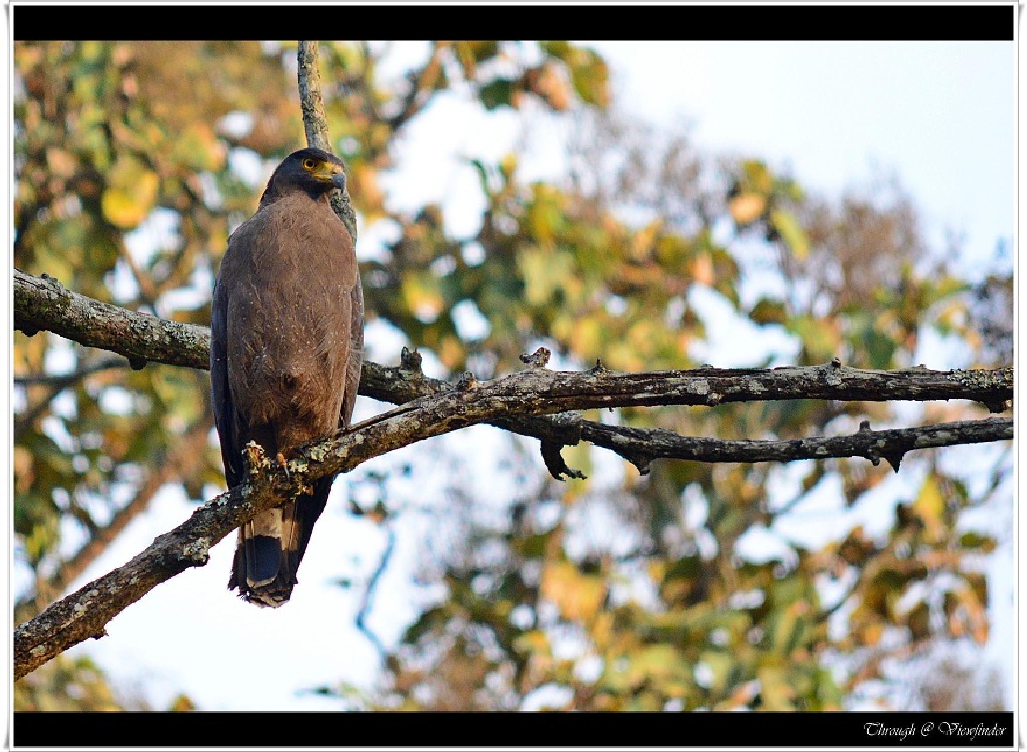 Crested Serpent Eagle by prashobh.ailyam