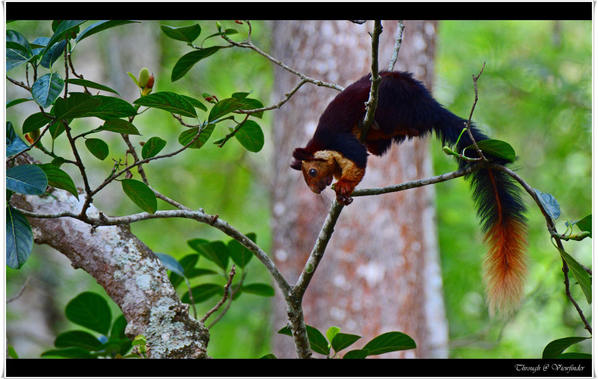 Indian giant squirrel by prashobh.ailyam