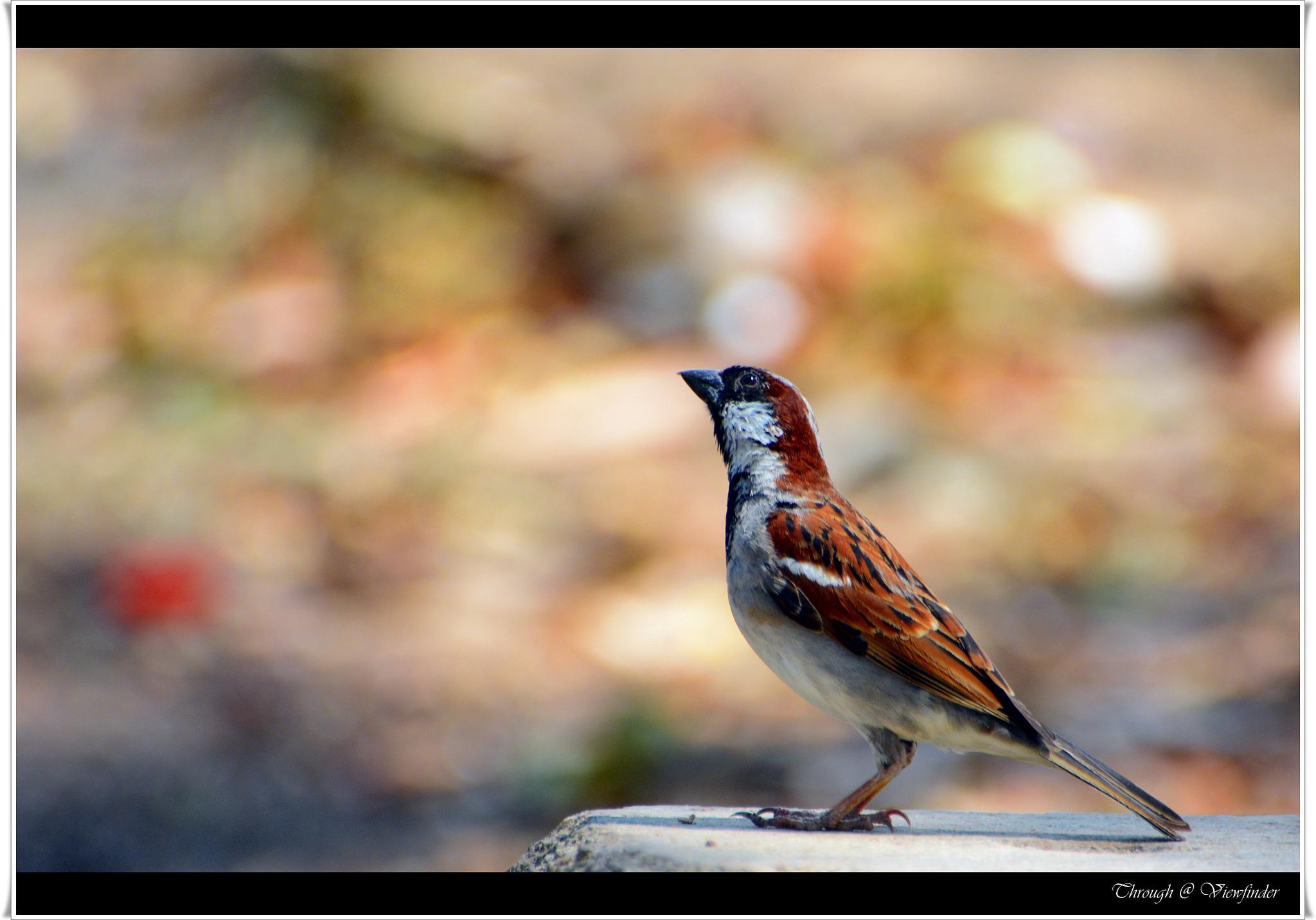 House Sparrow by prashobh.ailyam