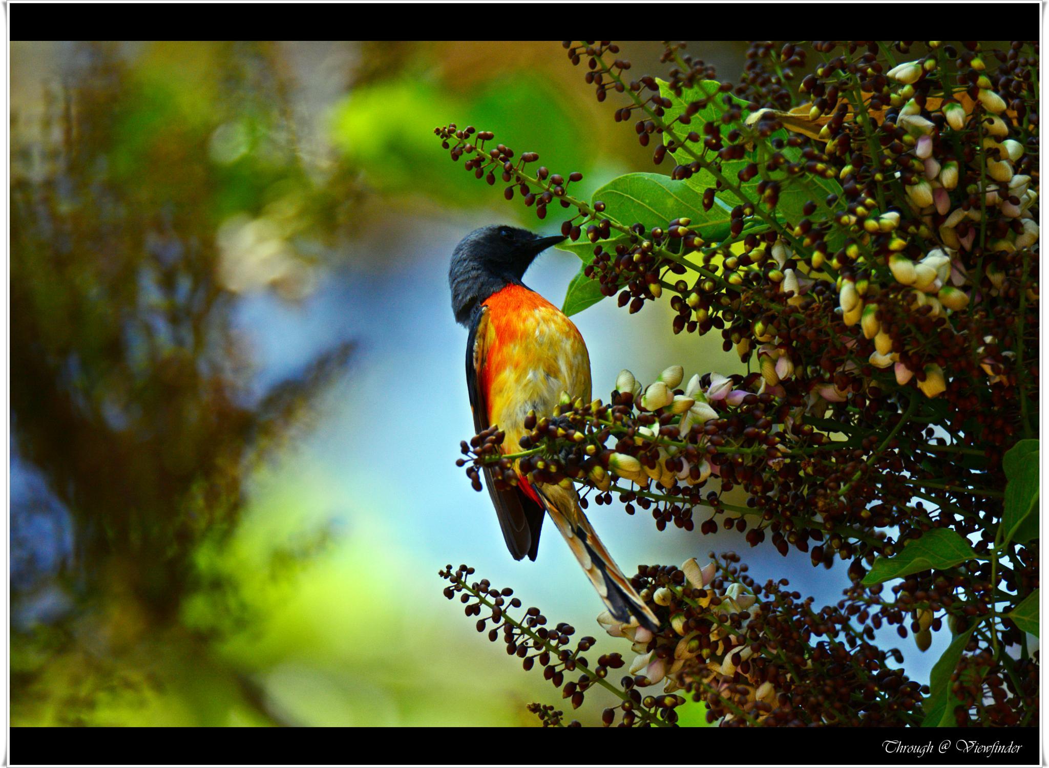 Scarlet Minivet by prashobh.ailyam