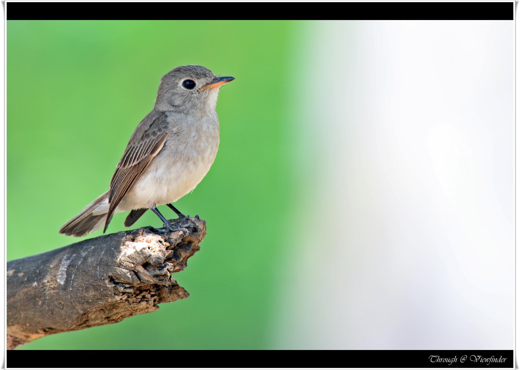Asian Brown Flycatcher by prashobh.ailyam