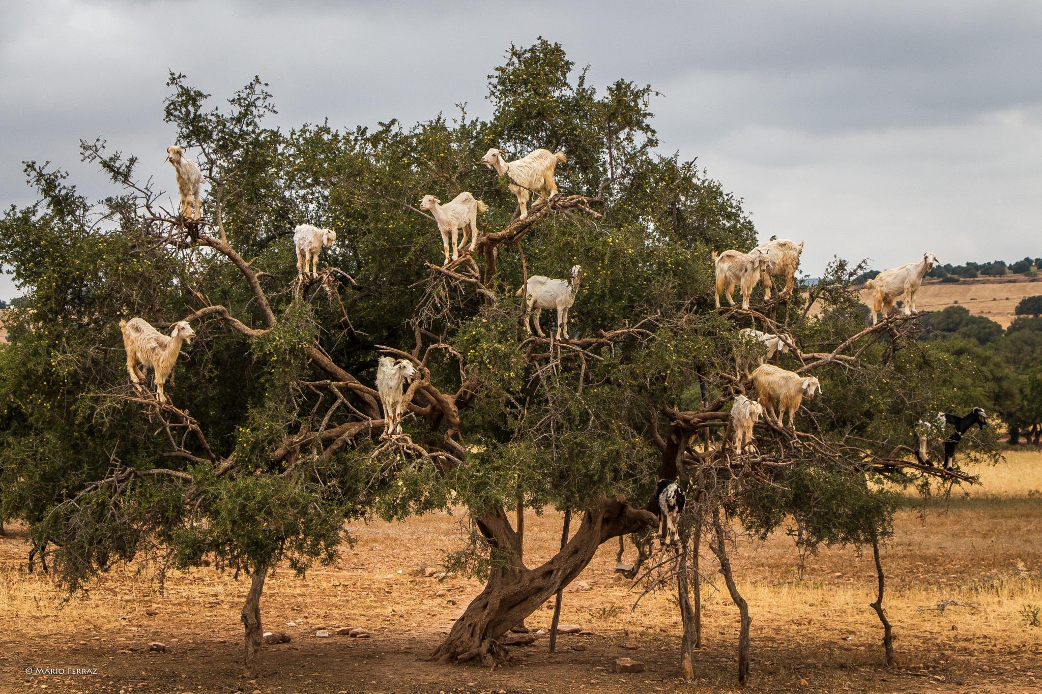 Argan Trees by faceferraz