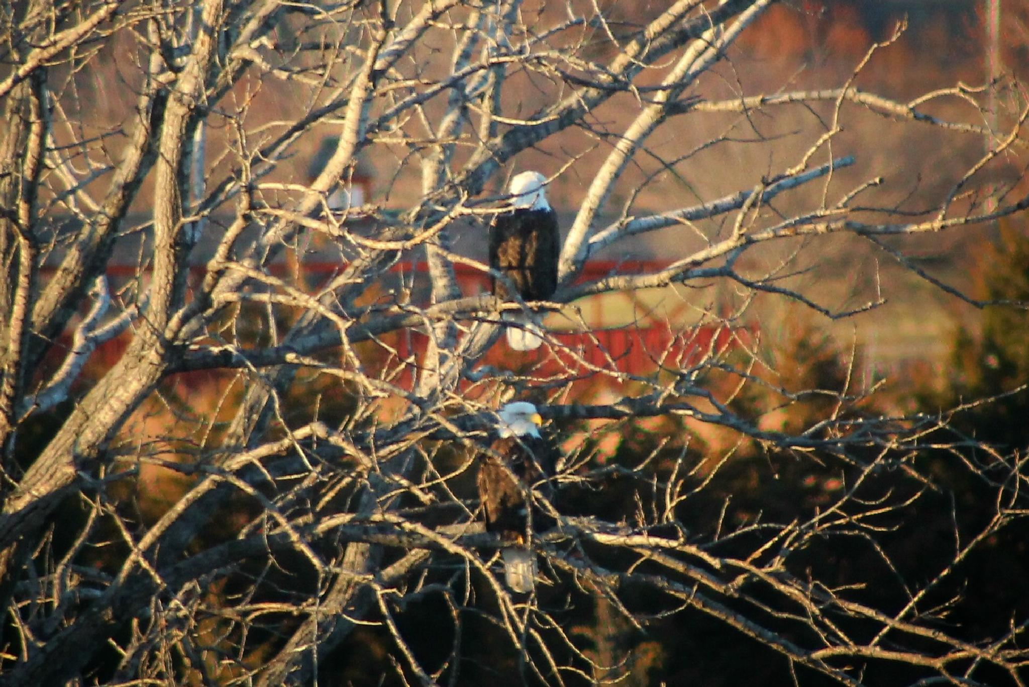Bald Eagle pair by janis.humbert