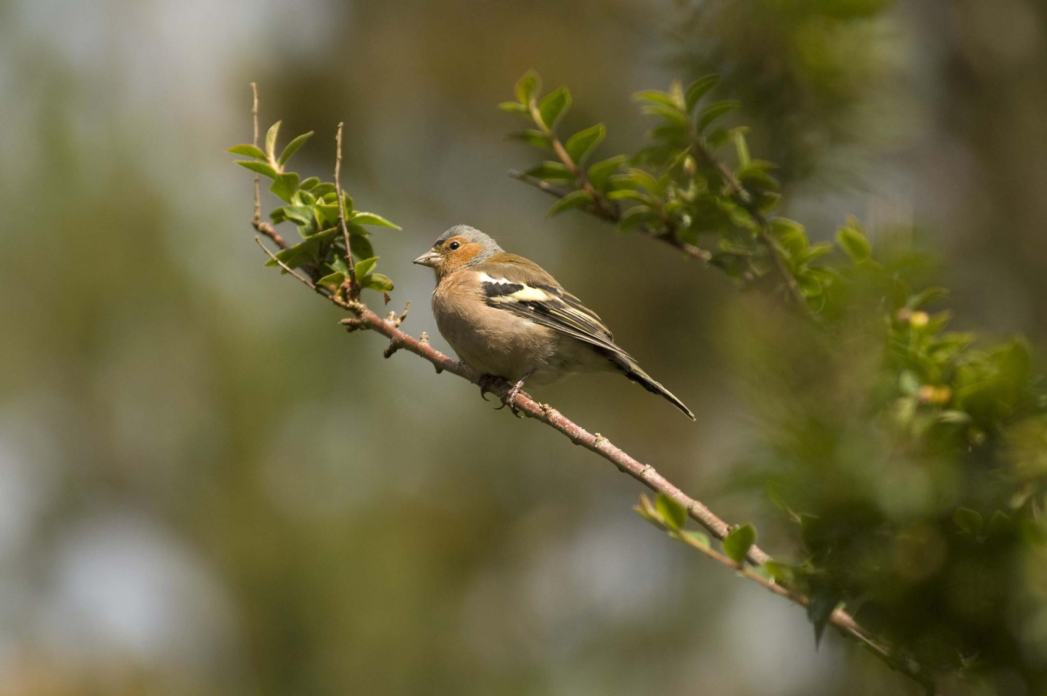 Chaffinch by leslie.mcbeath