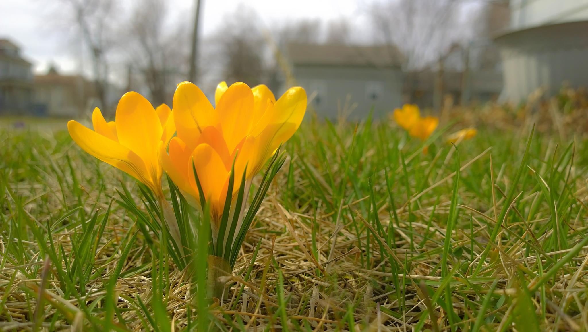 Spring Crocuses by BALKPhotography