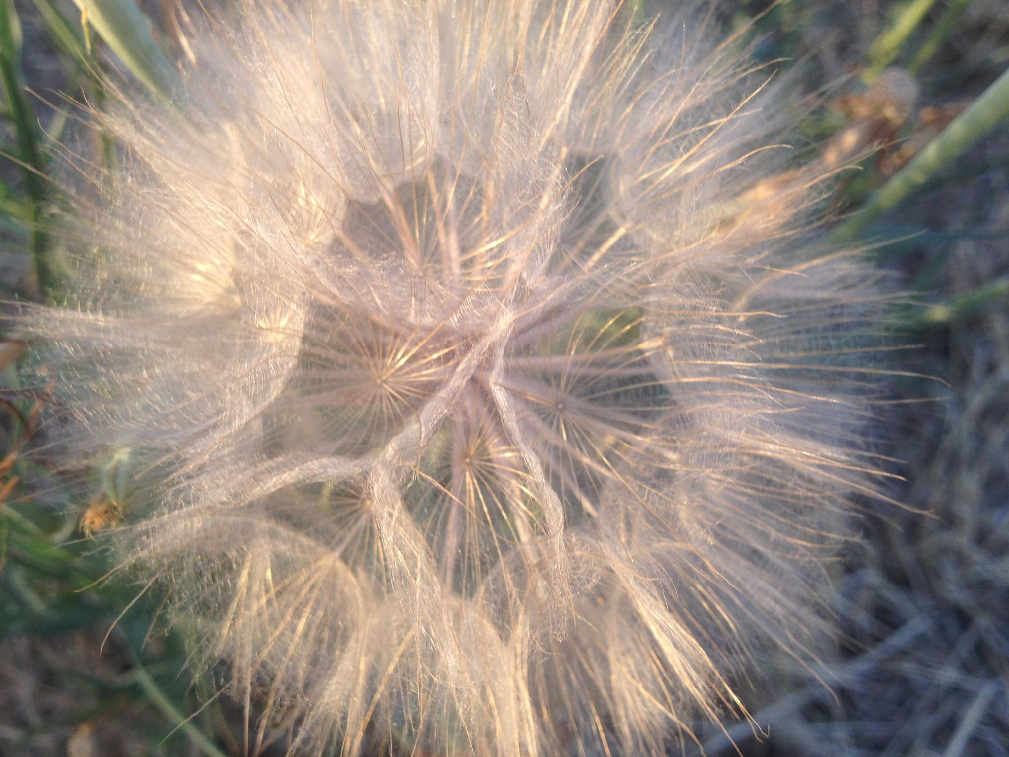 Dandelion by Praying