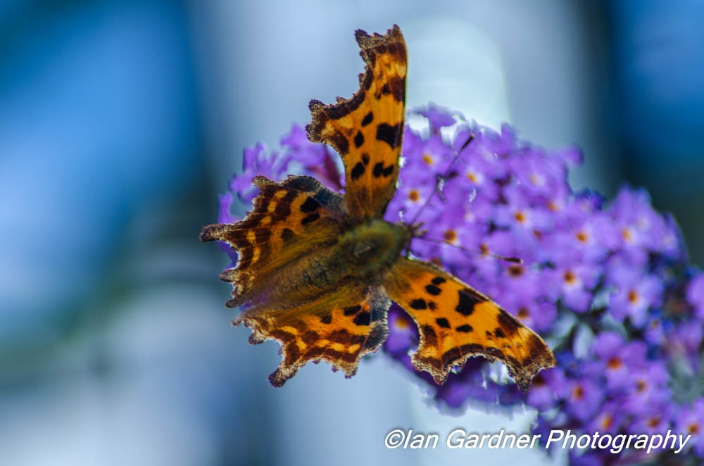 Comma  by Ian Gardner