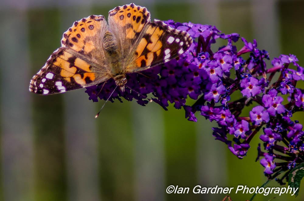 Painted Lady And Buddleia by Ian Gardner