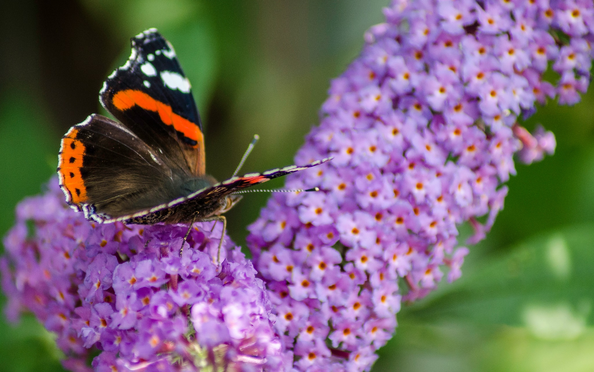 Red Admiral On A Buddleia by Ian Gardner