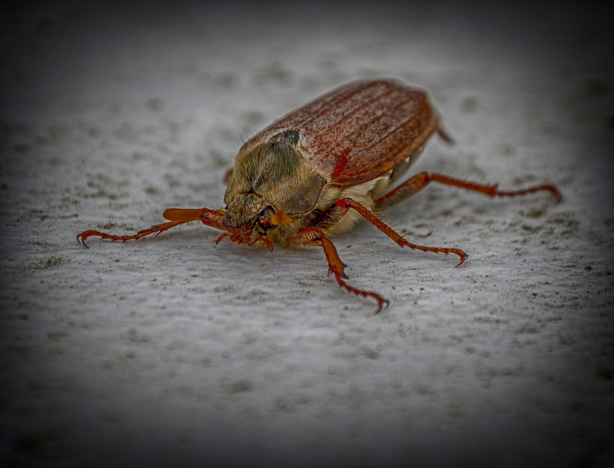 Cockchafer Beetle by Ian Gardner
