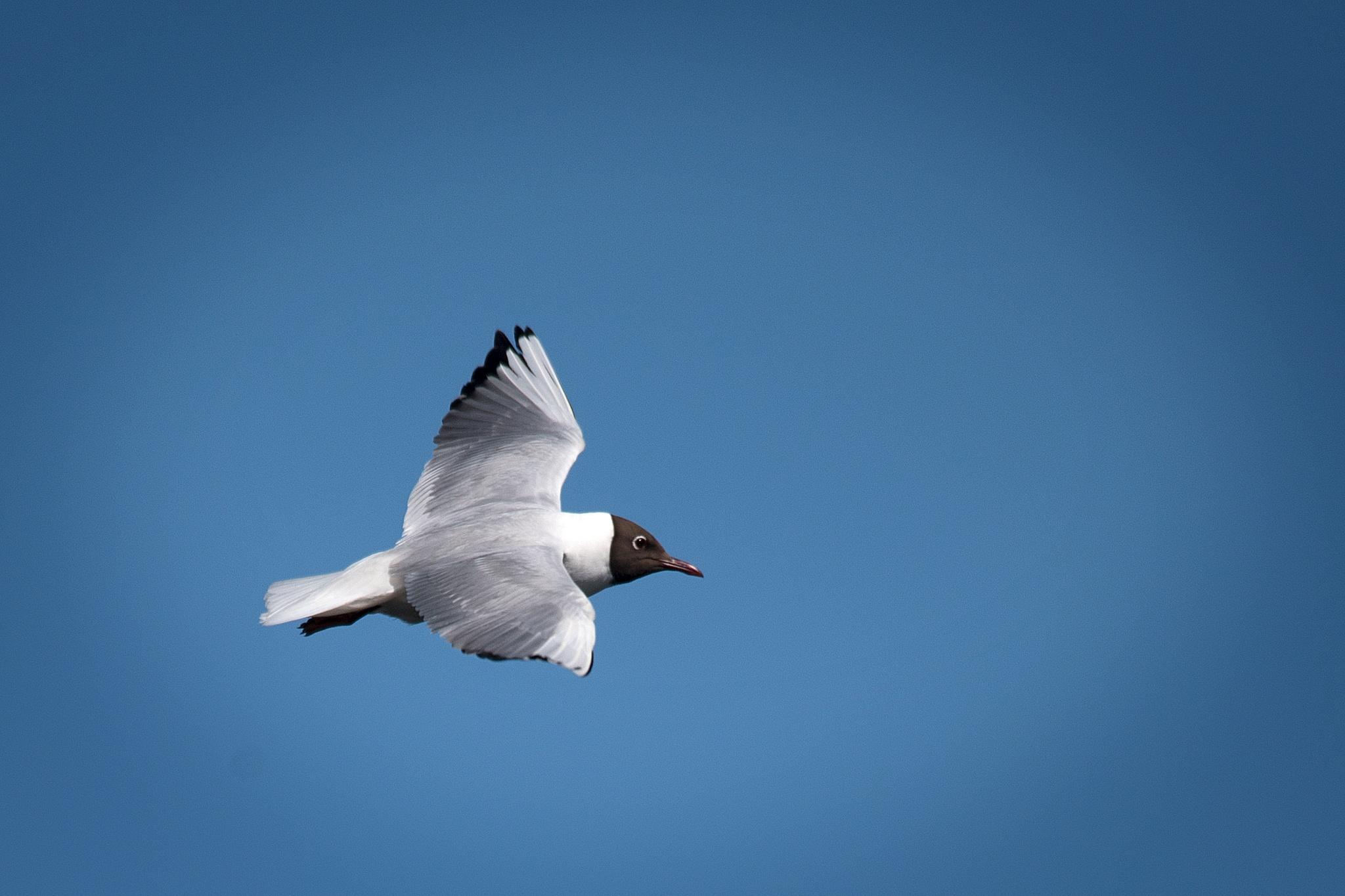Flying gull – Larus ridibundus by Lars Flodmark