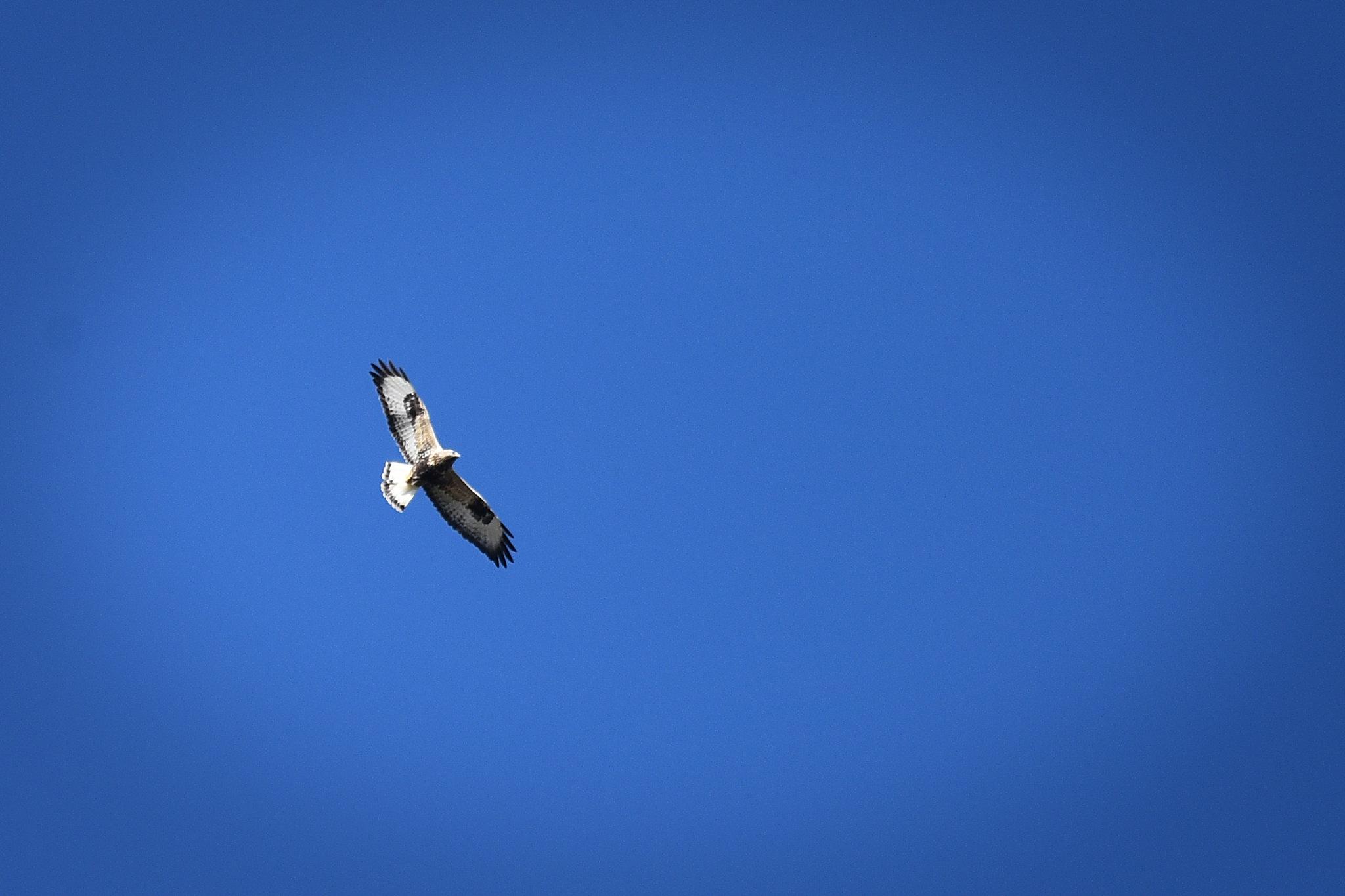 Rough-legged buzzard  by Lars Flodmark