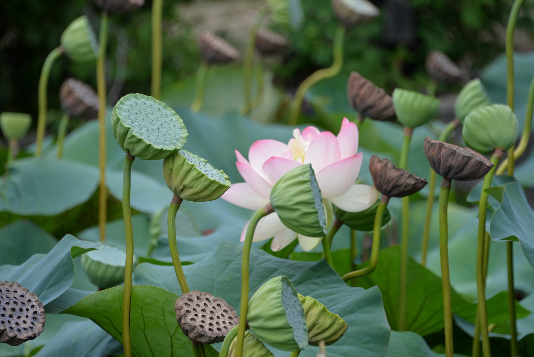 Bloom where you are planted ~ Lotus by lisa.O