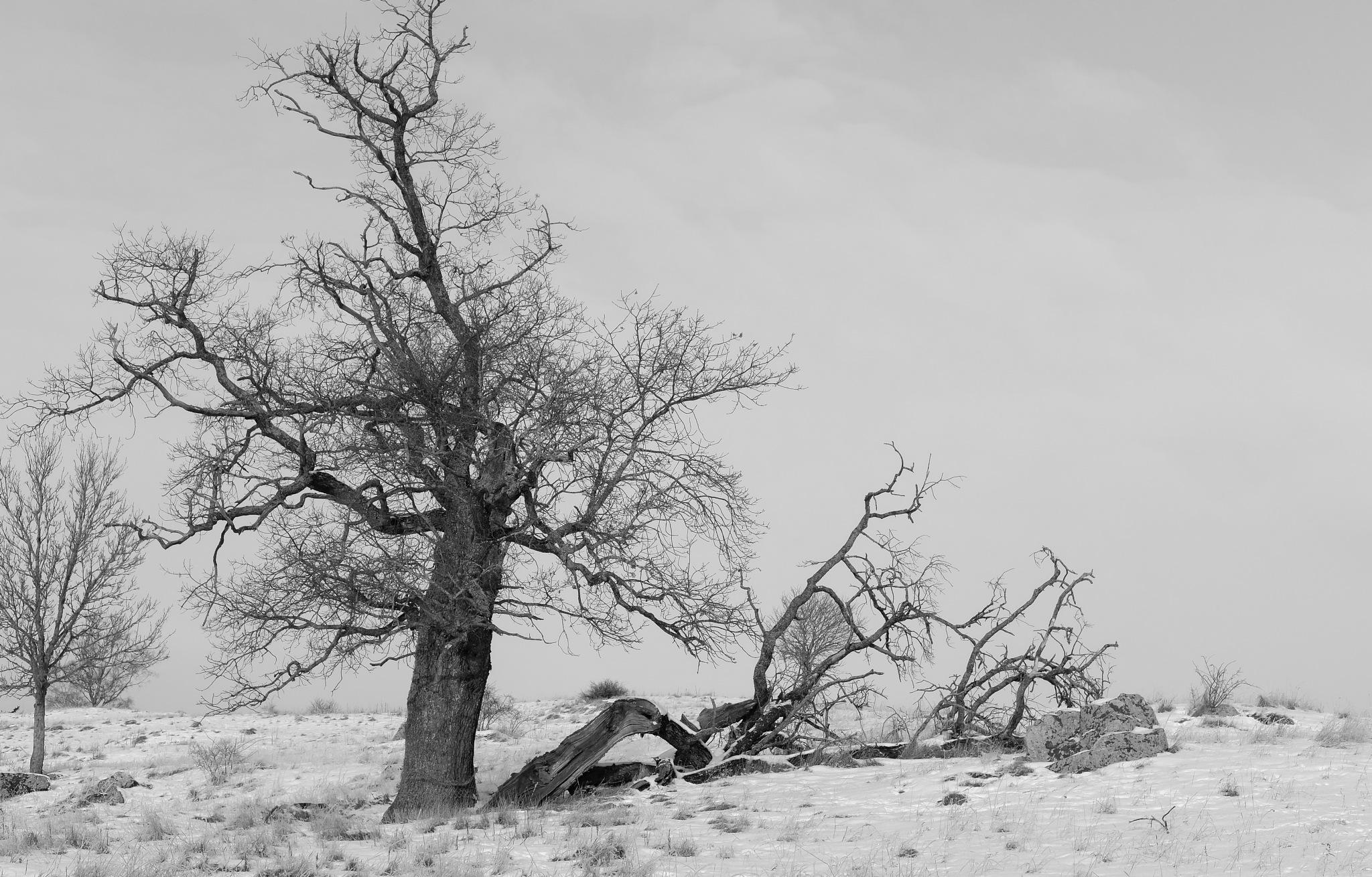 old oak tree by larserik.keding