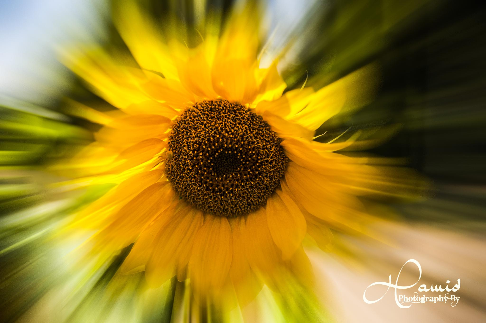 Sunflower by H-APhotography