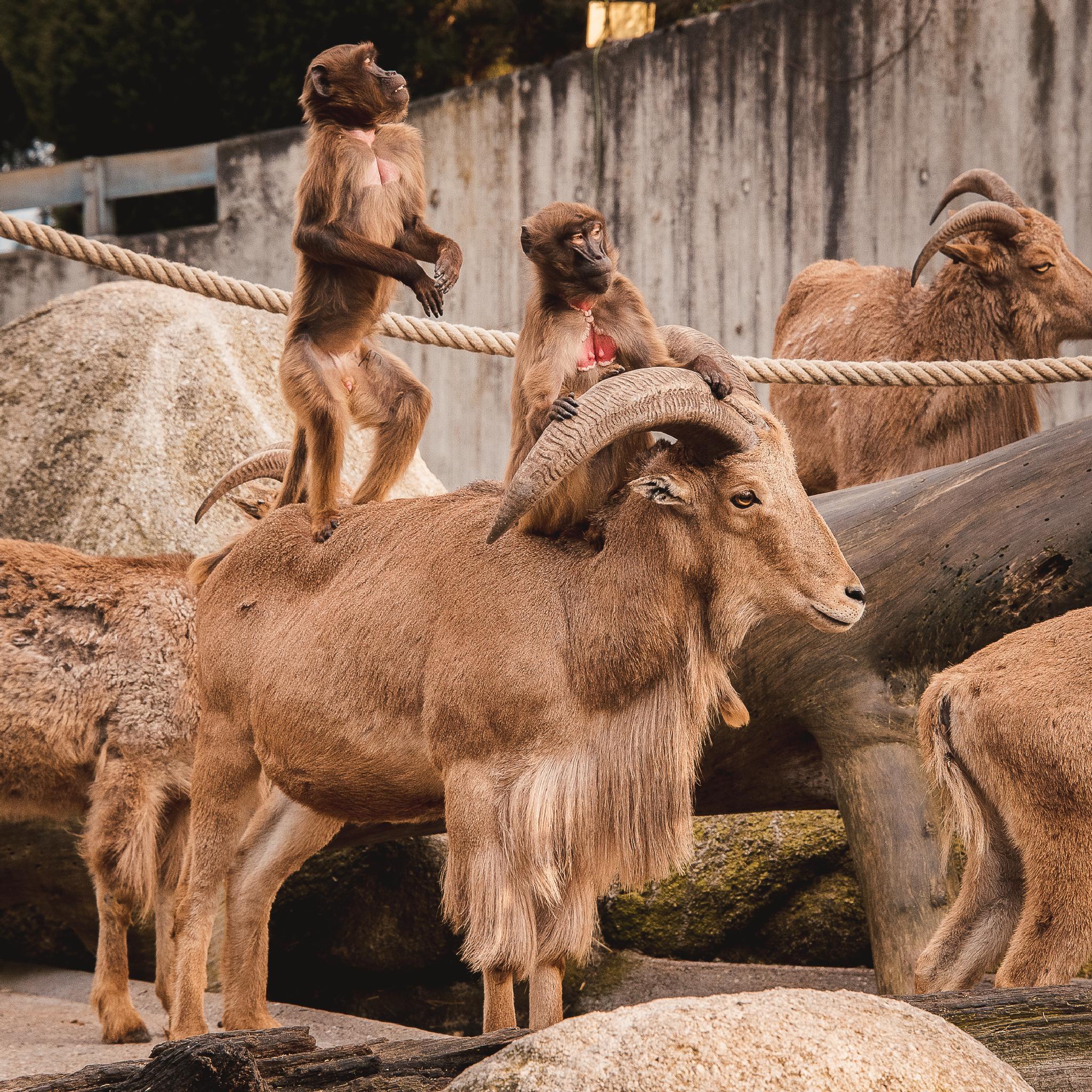 Monkeys and goats by Oleksiy Shuman