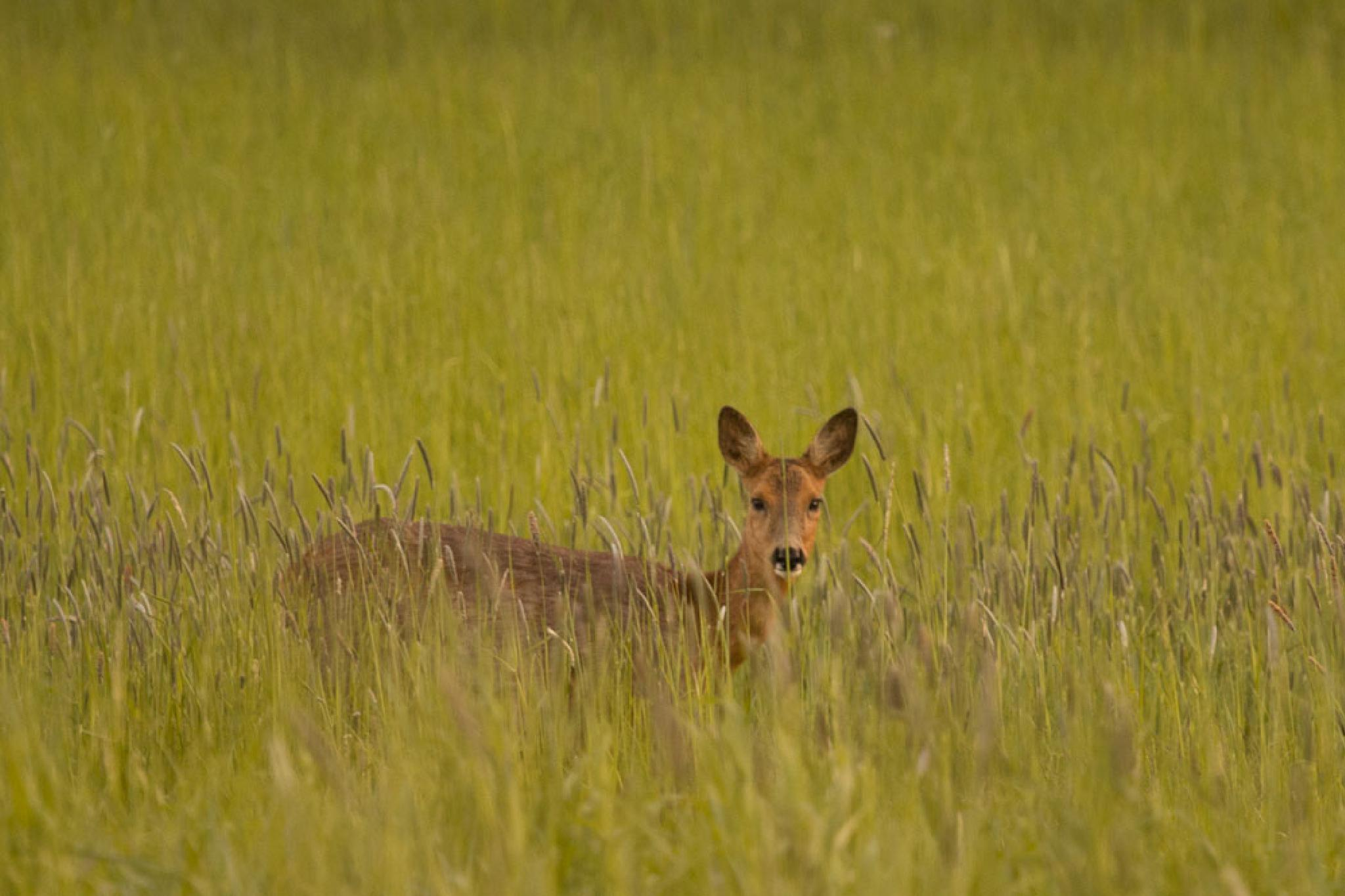 roedeer in sunshine by Johan Fredlund