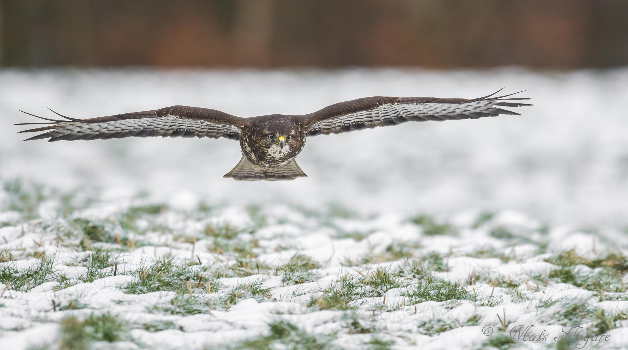 The common buzzard in stealth mode. by mats.flygare.9