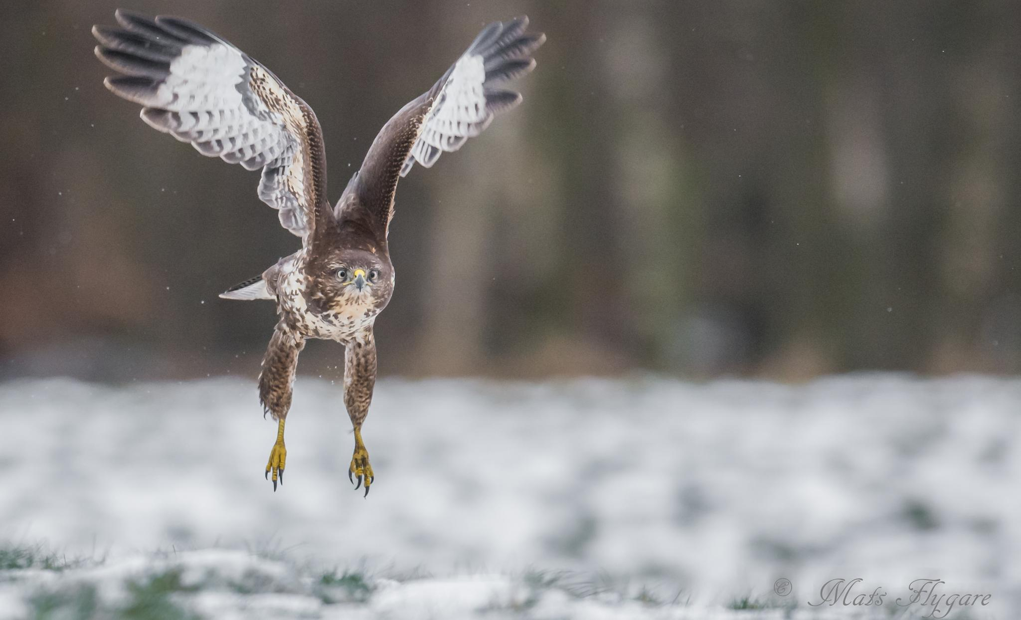 Incoming buzzard. by mats.flygare.9