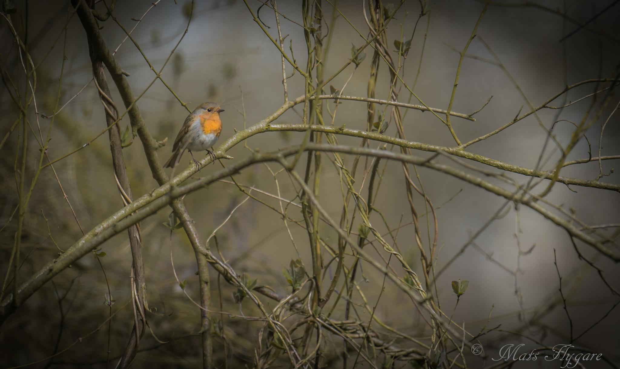 The little Robin. by mats.flygare.9
