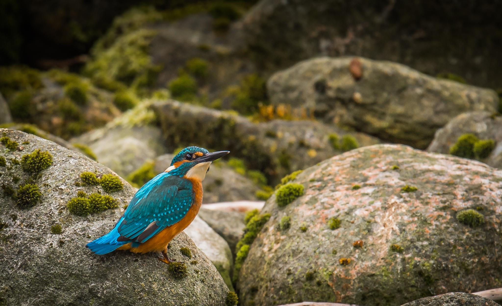 The kingfisher in posing mode. by mats.flygare.9