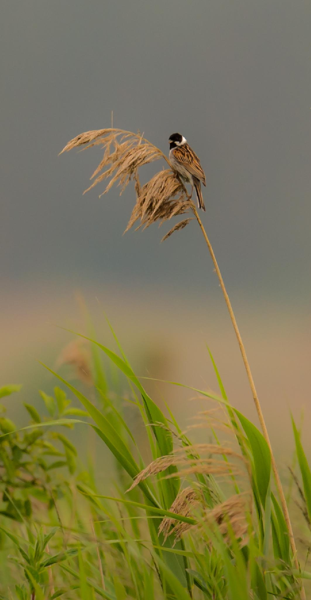 The little scout. Reed bunting. Sävsparv. by mats.flygare.9