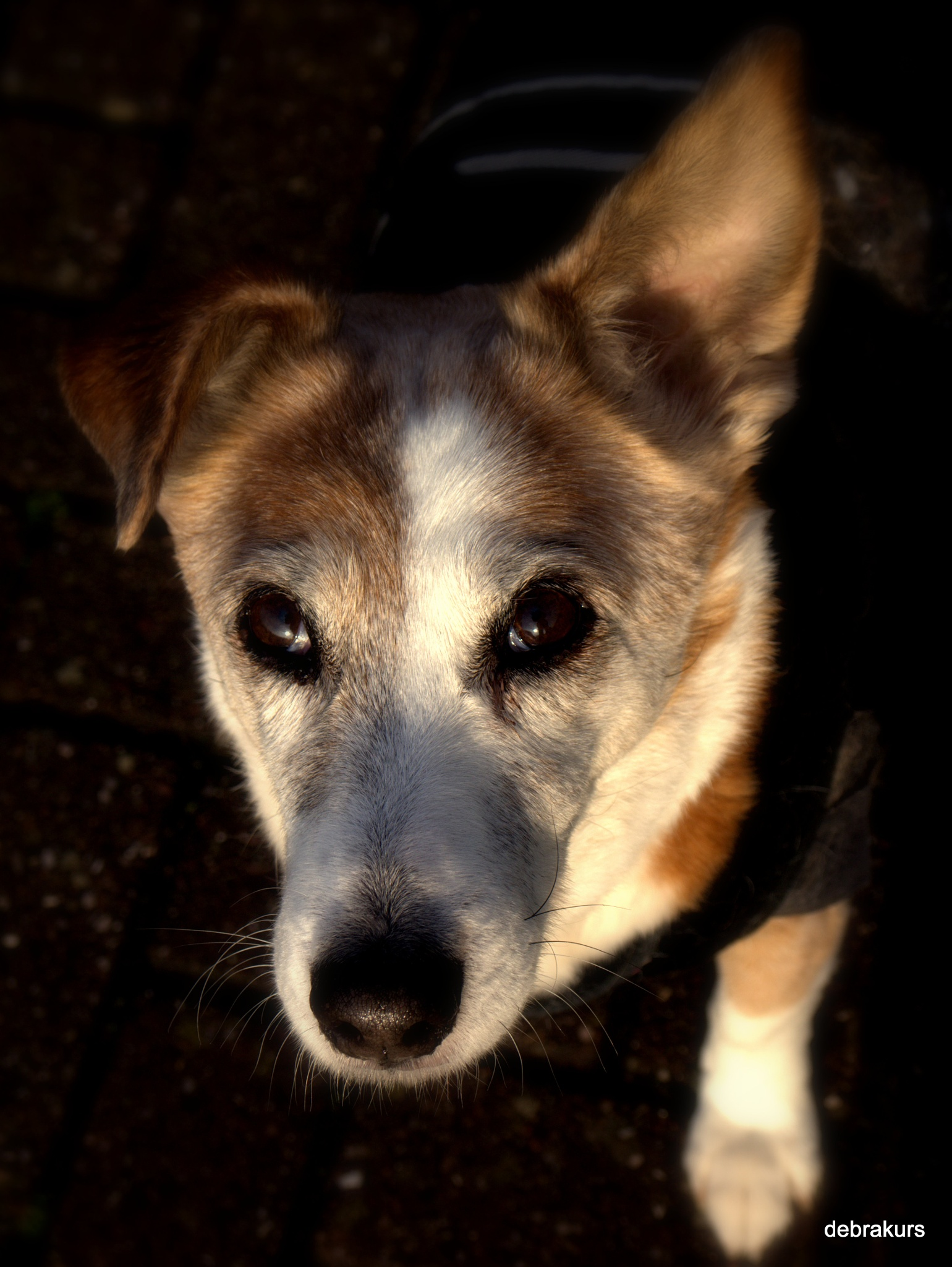 Portrait of an 18 year old doggy  by Debra Kurs