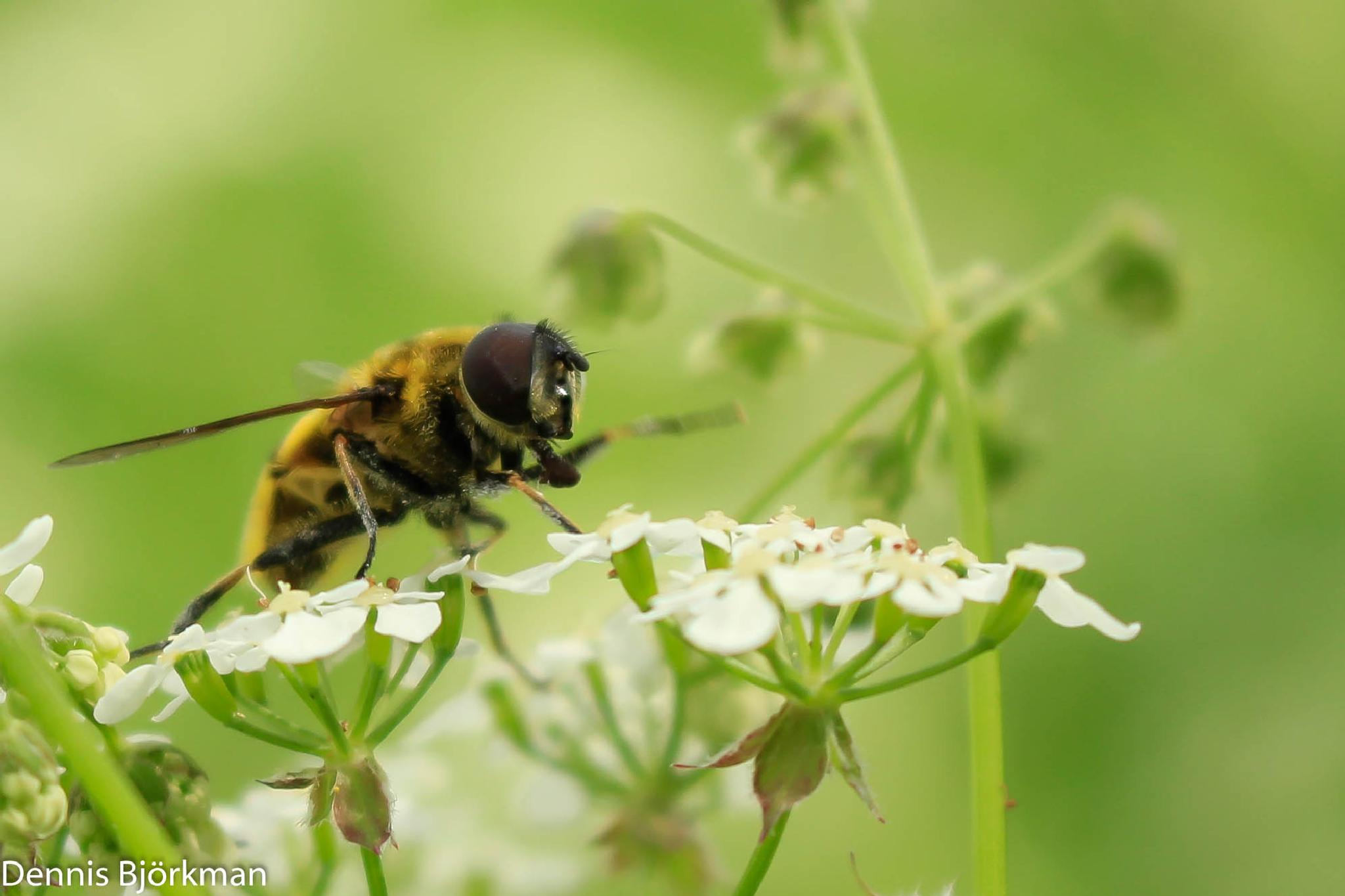 hoverfly by Denne