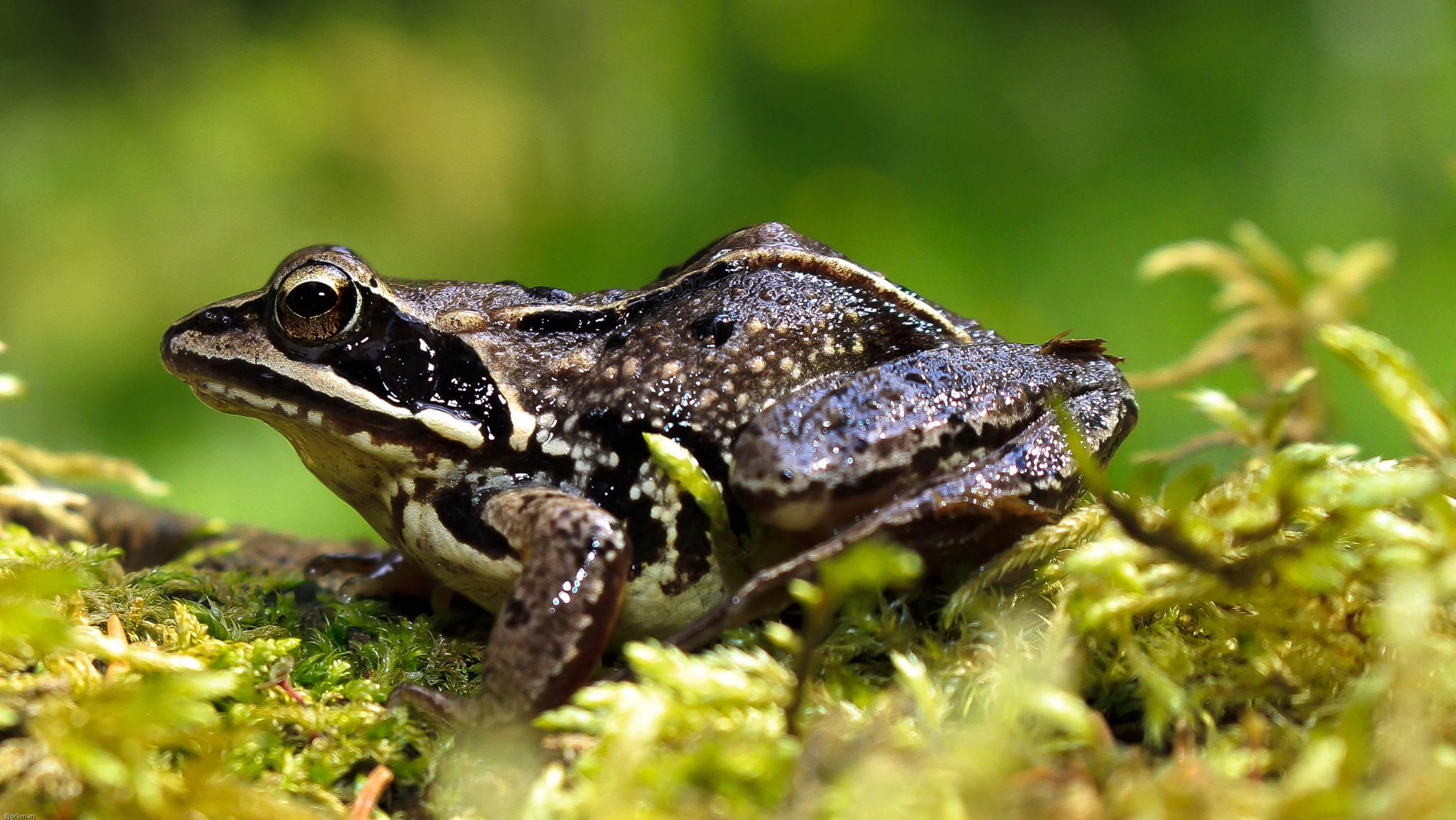 frog by Denne