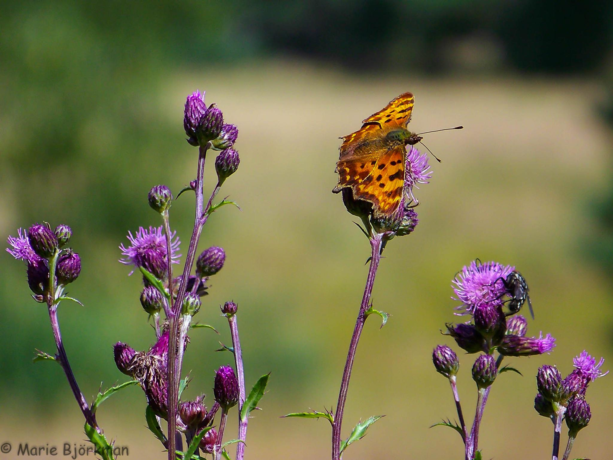Butterfly by SomeAnimalPhotos