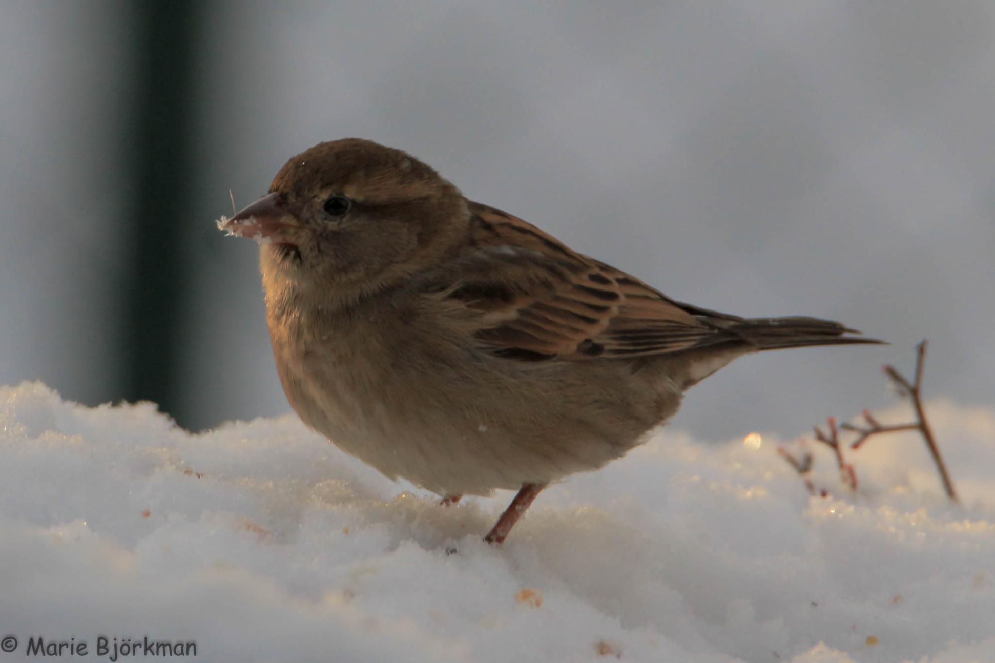 House Sparrow by SomeAnimalPhotos