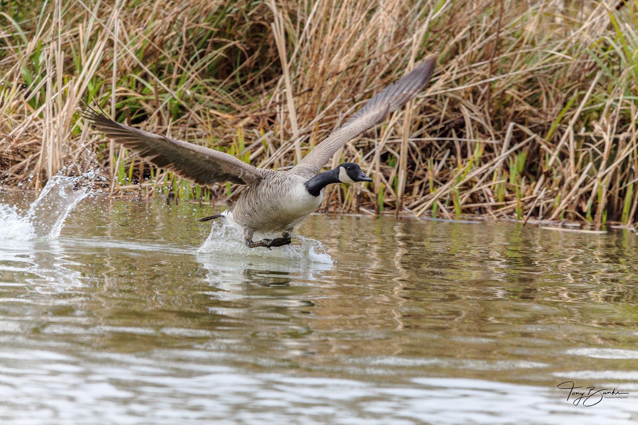 Photo in Random #geese #goose #bird #big bird #feathers #wings #water #sporgrass #head #waves #nature #wildlife