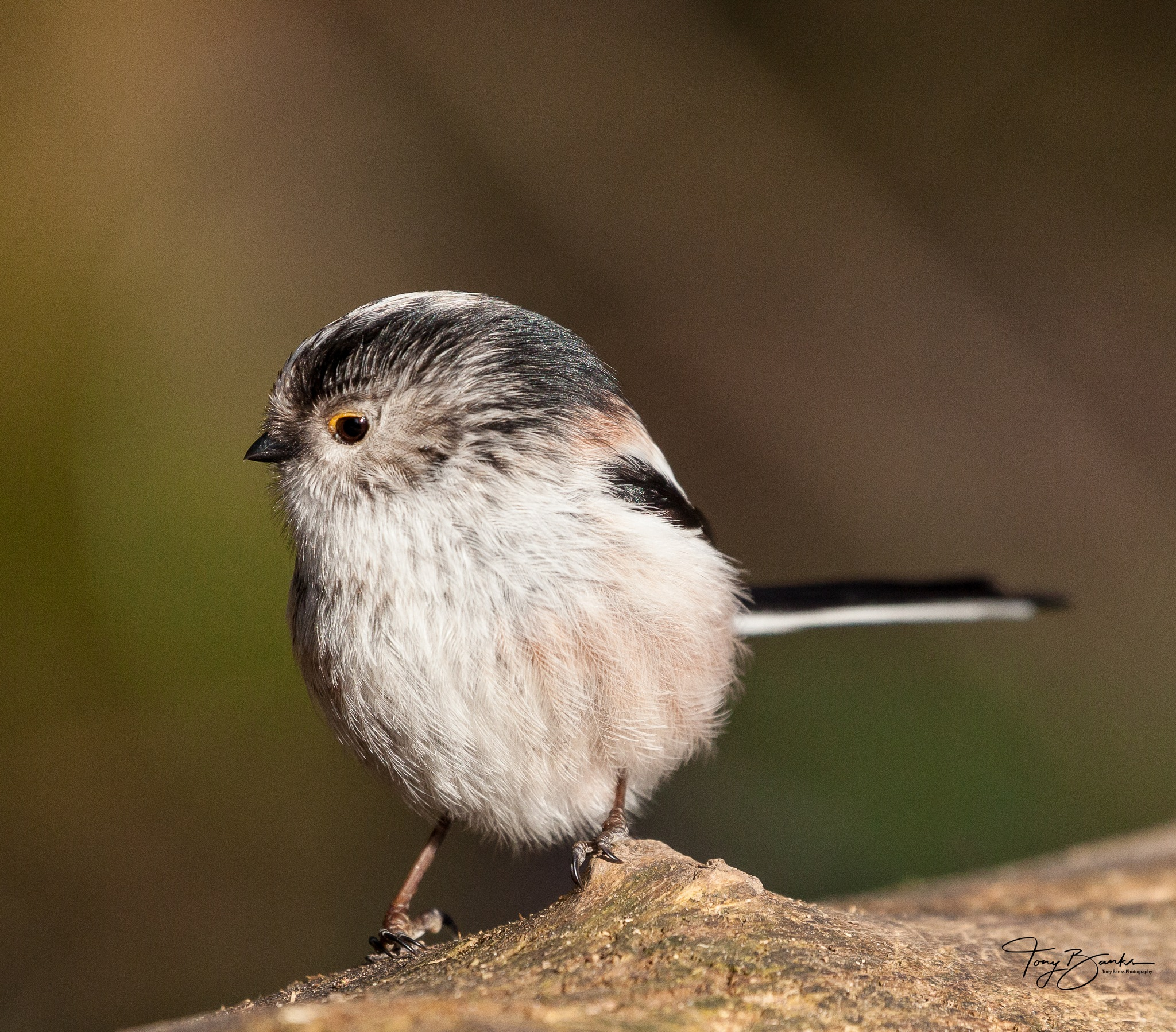 Long Tailed Tit by Tony Banks