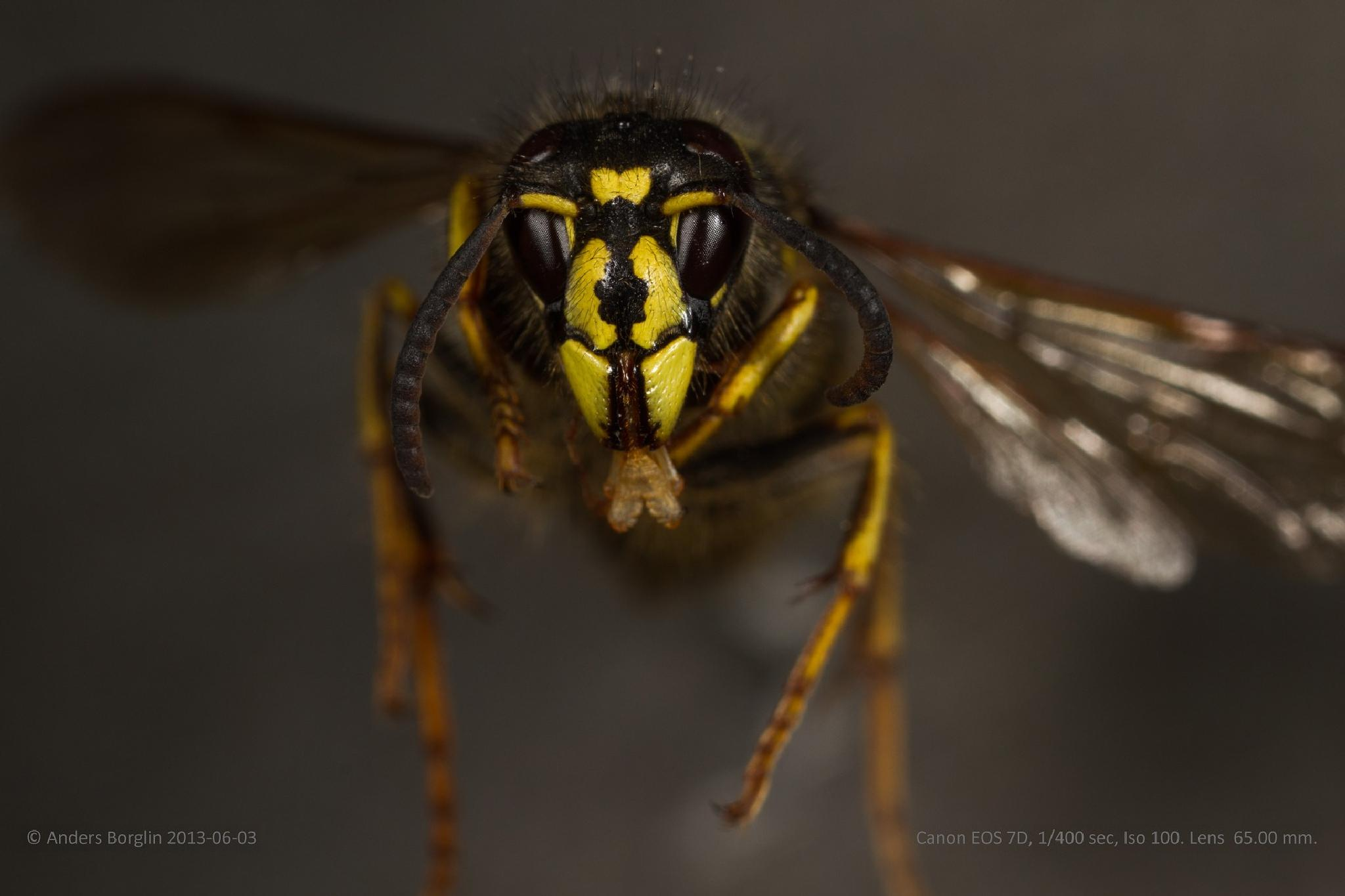 Geting. common wasp by Anders Borglin