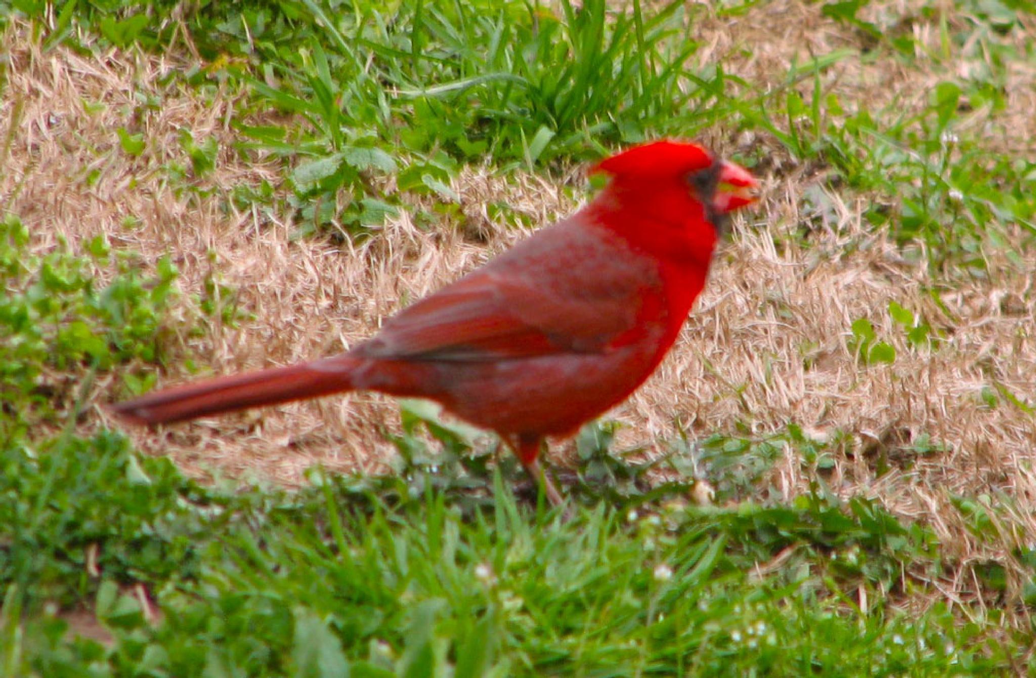 Cardinal by Charlie McLain