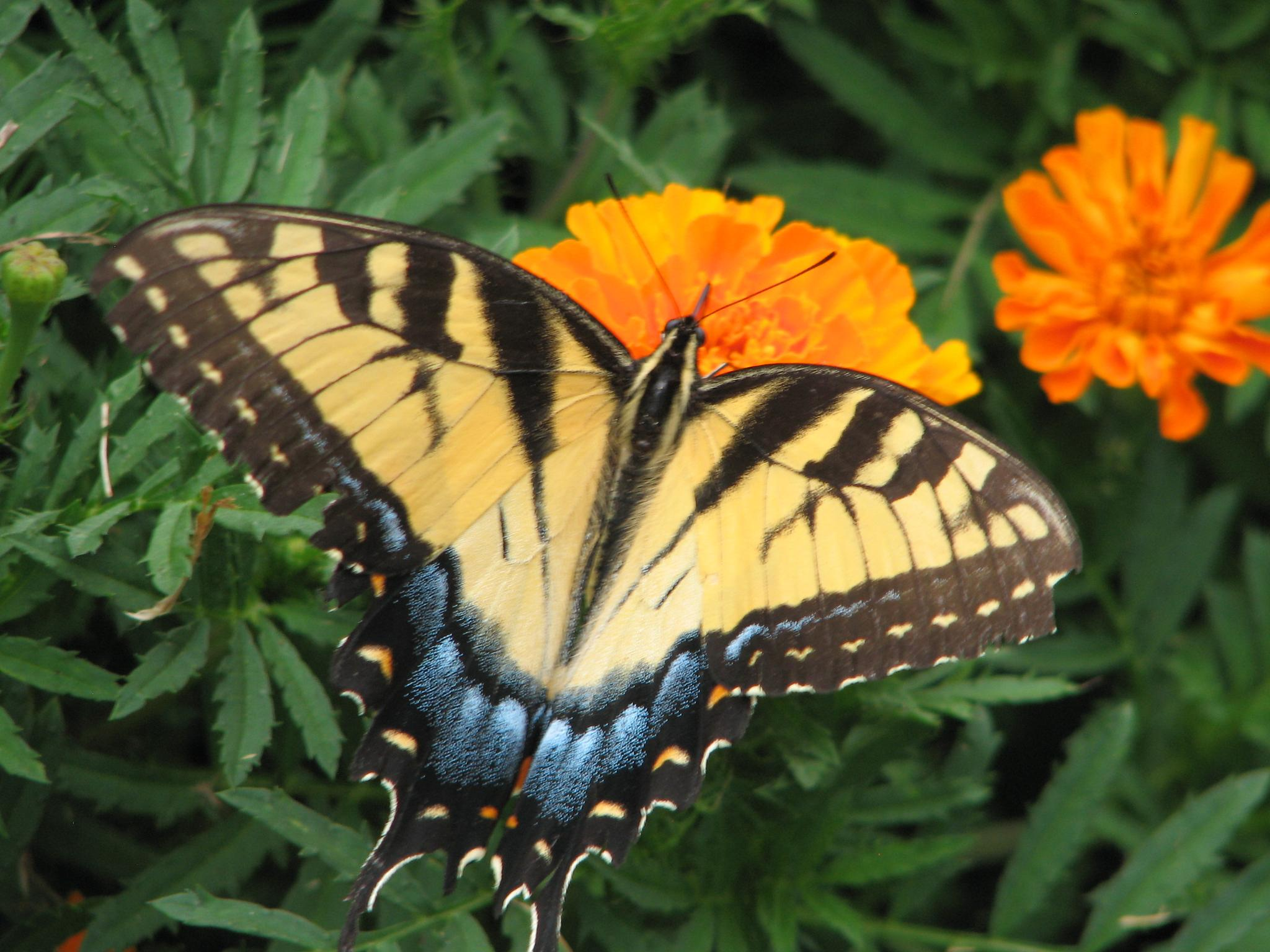 Yellow Butterfly by Charlie McLain