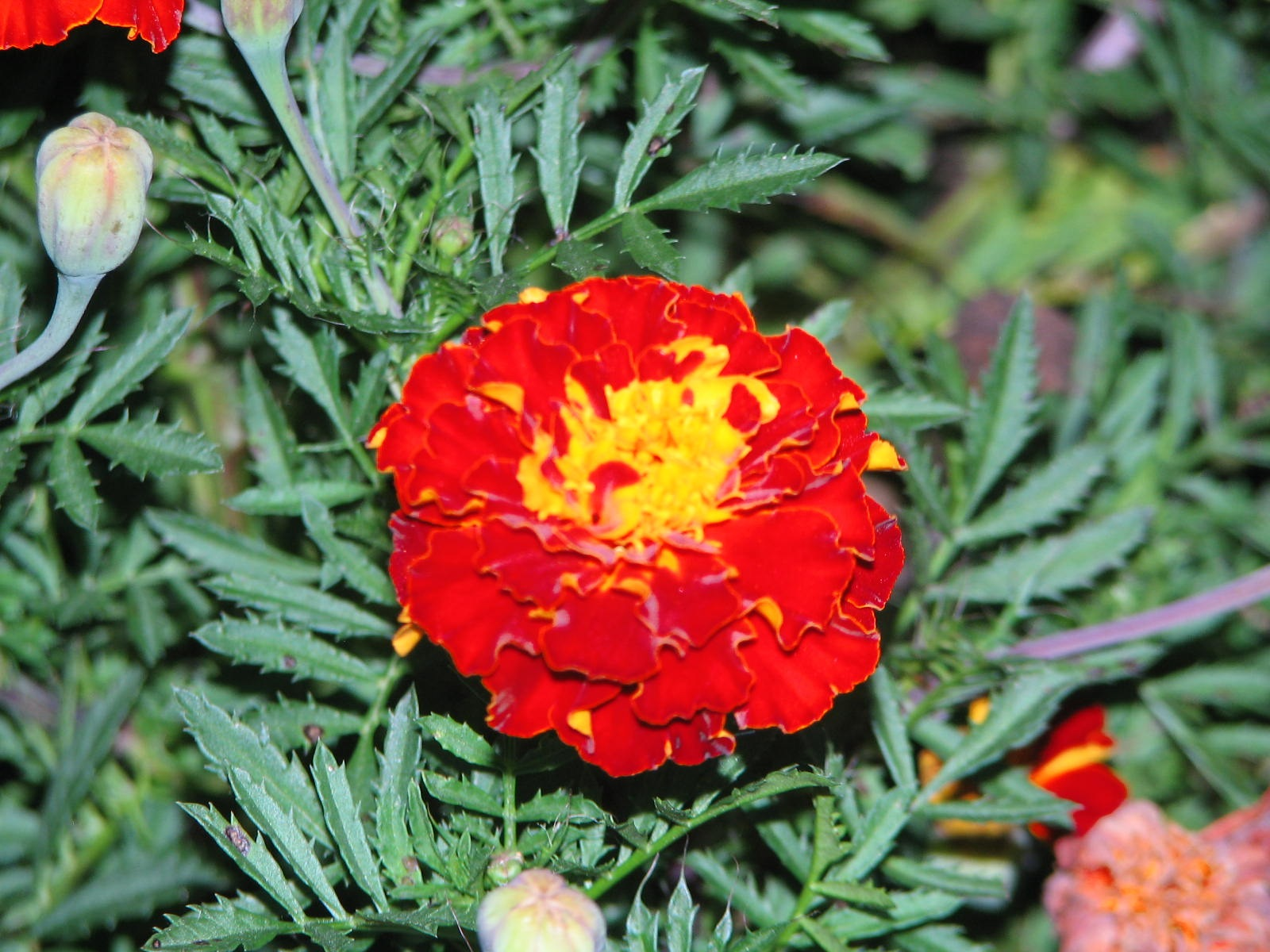 Red Marigold by Charlie McLain