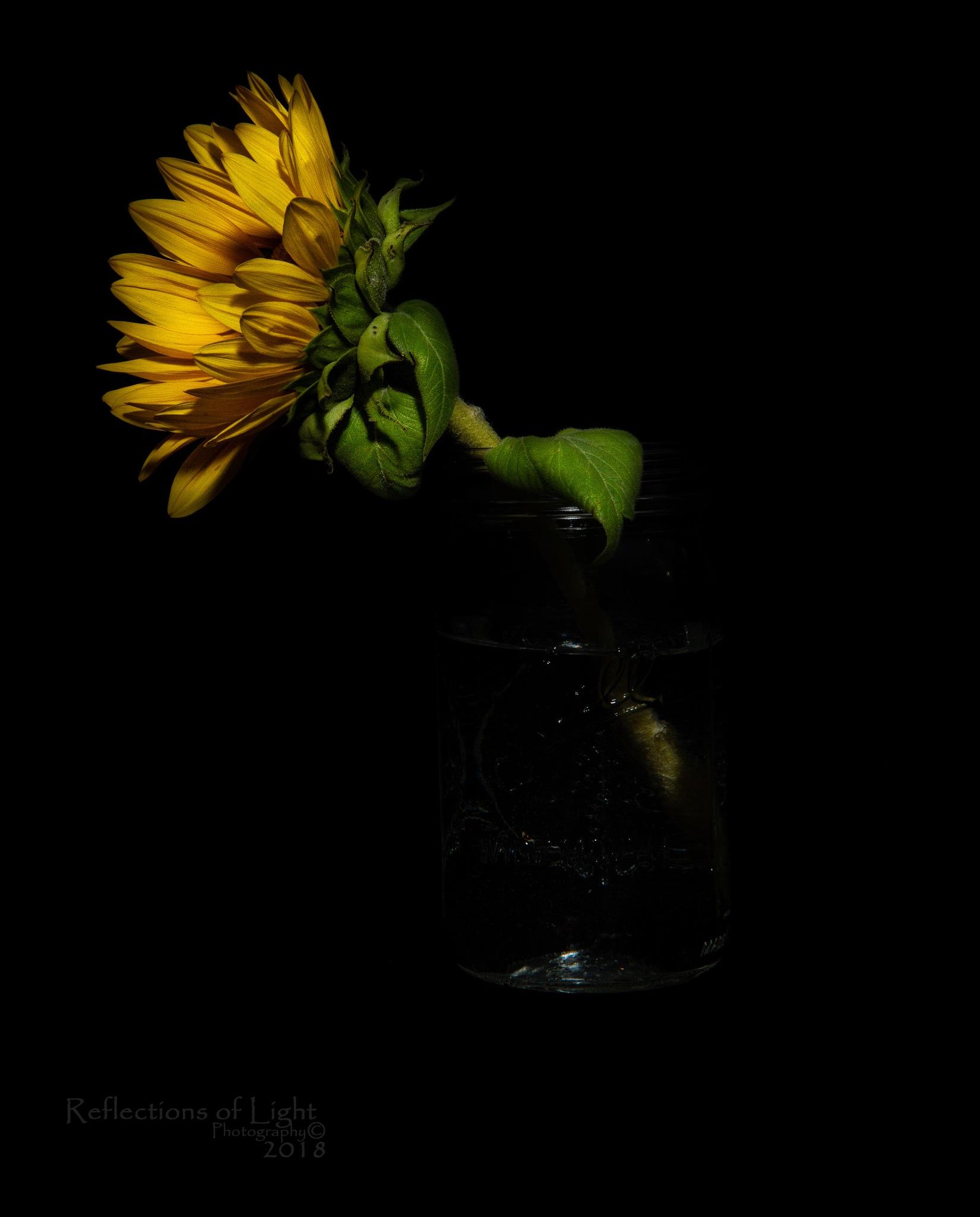 Sunflower in a Jar by navydad2005