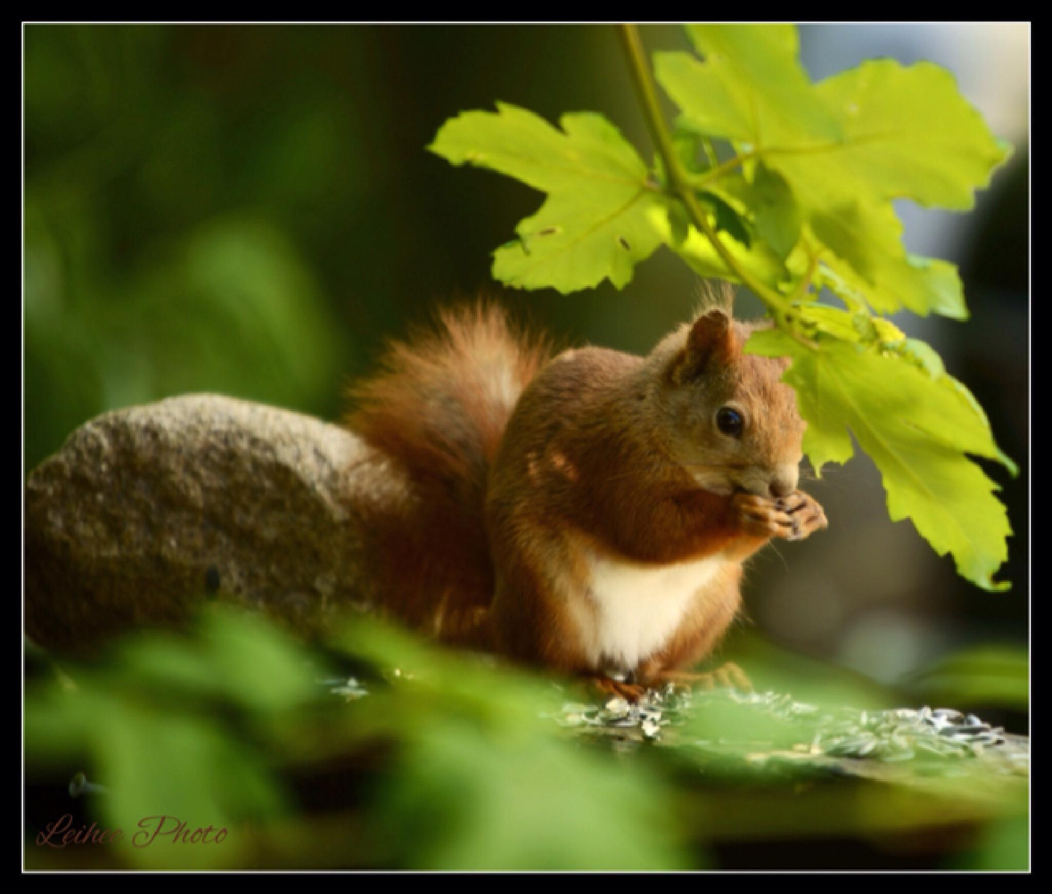 Squirrel by Leif Heering