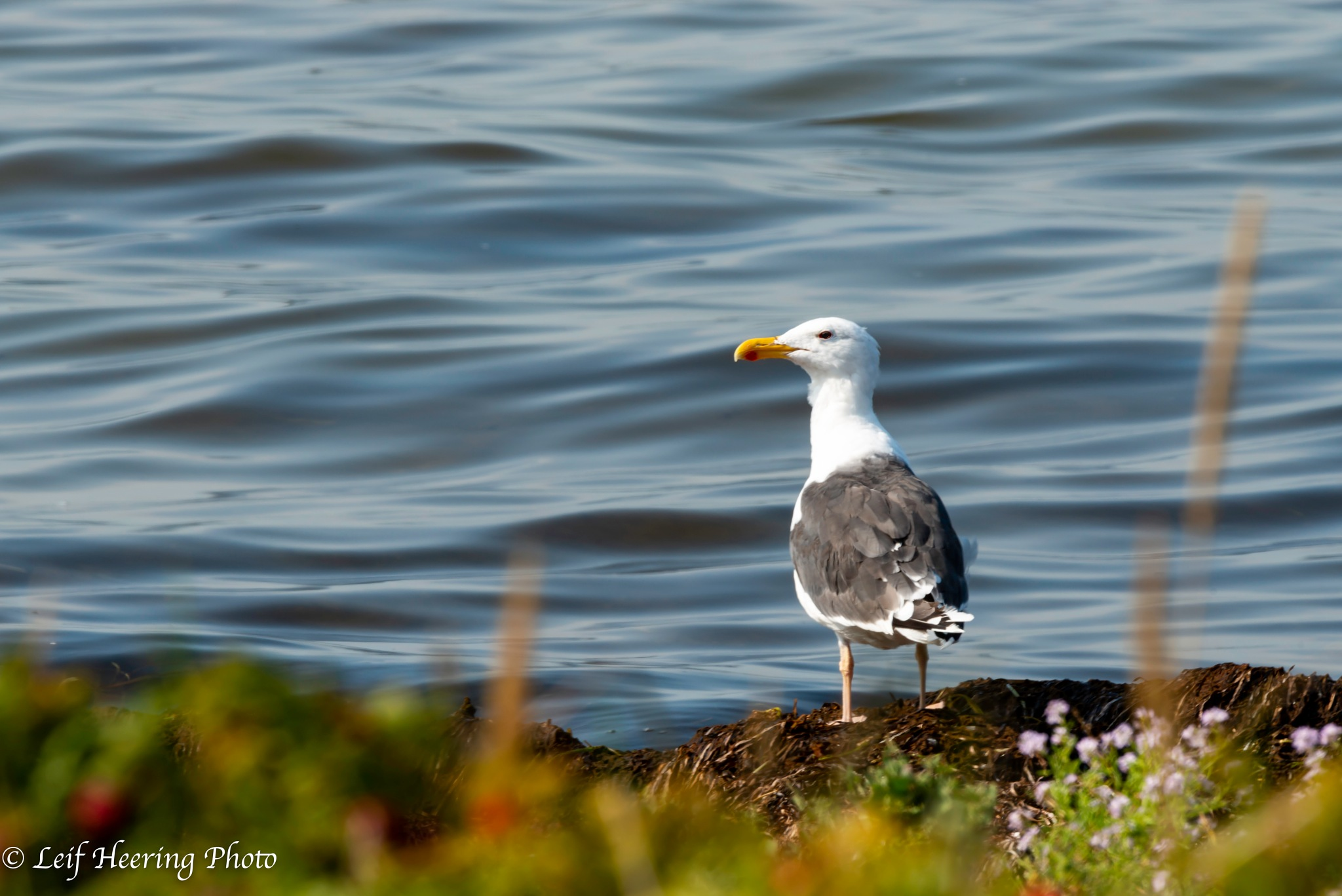Seagull by Leif Heering