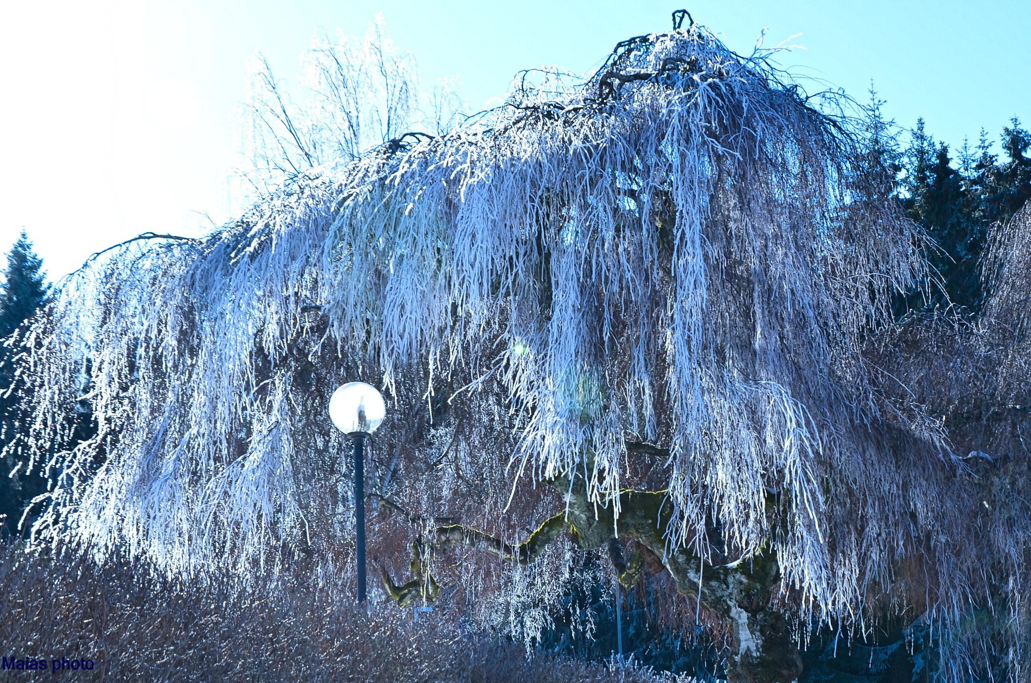 Tree by Maias photo