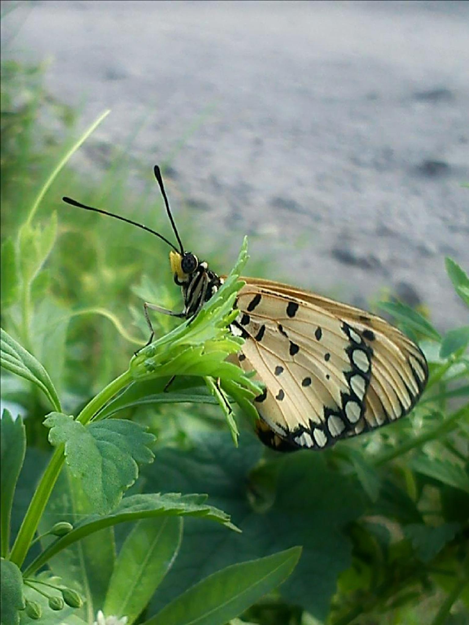 a butterfly by ciplukan niz3