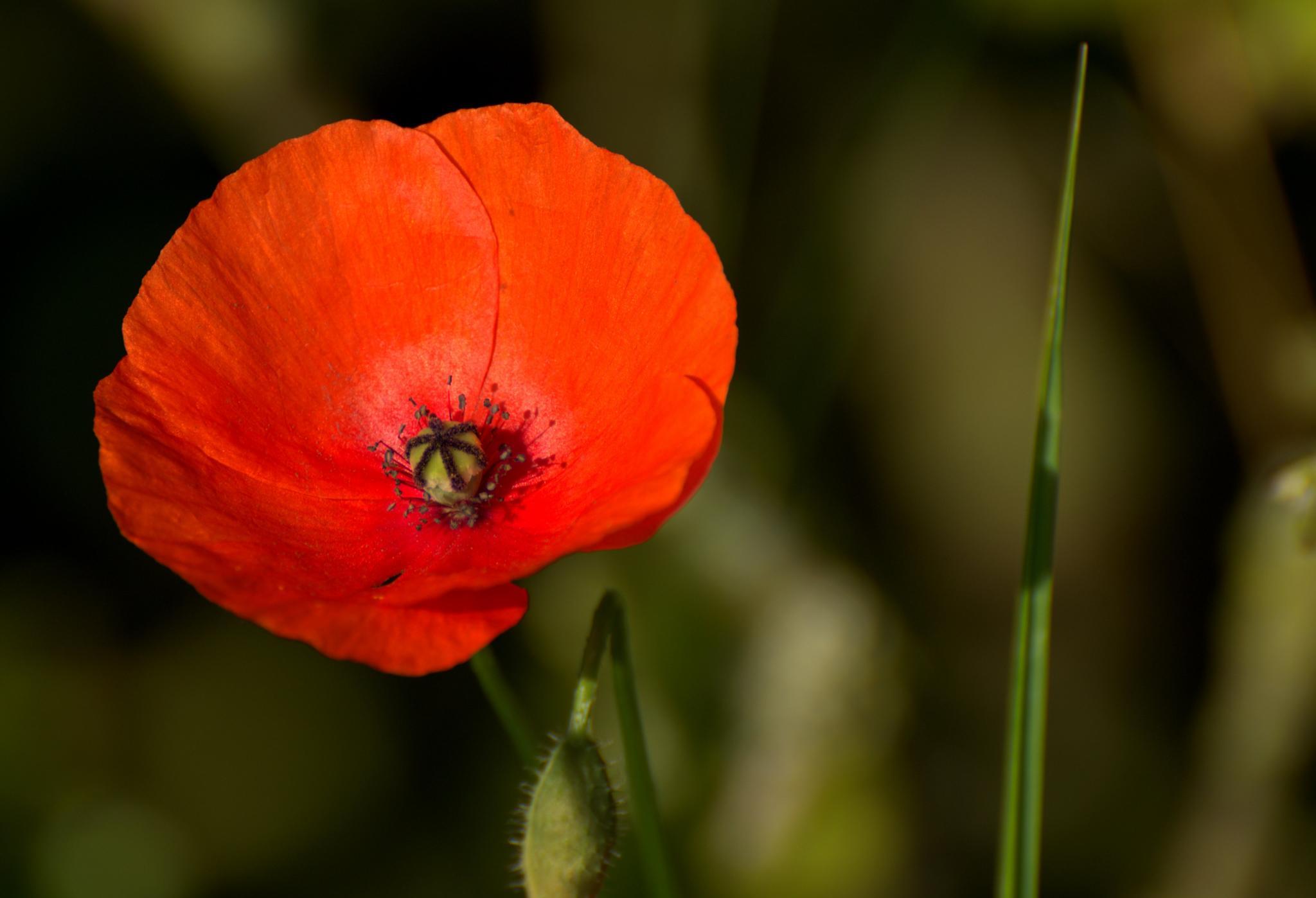 Poppy by Jozsef Keszan