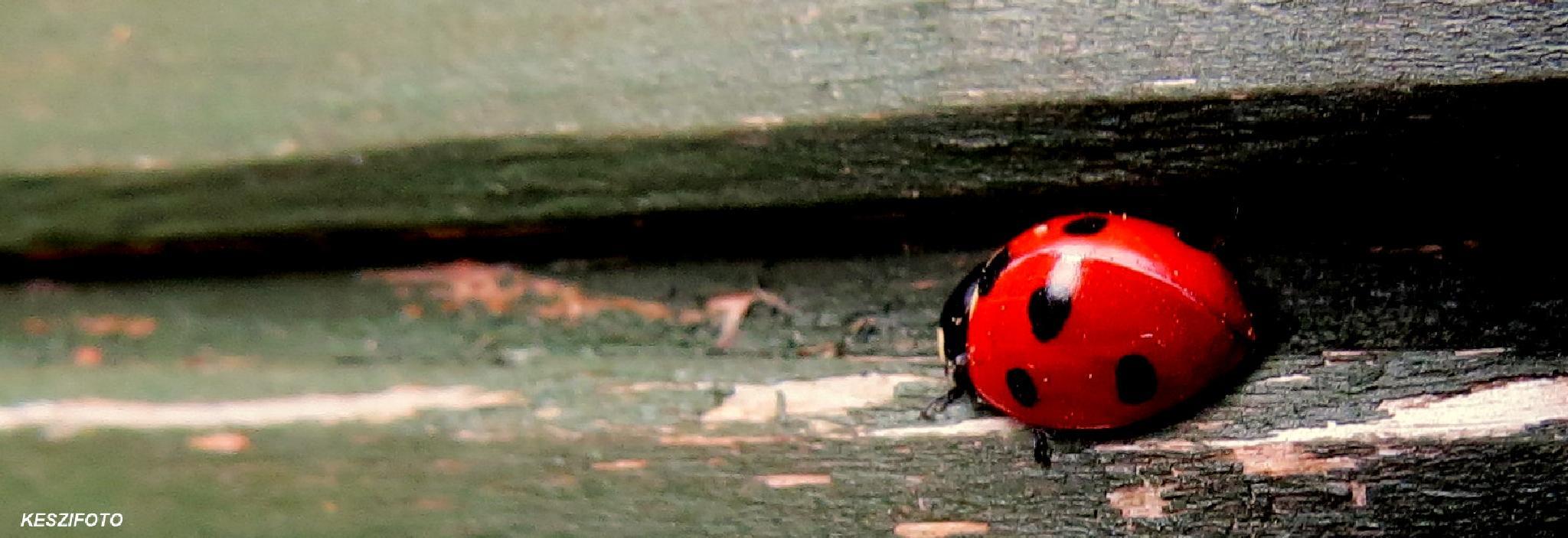 Ladybird by Jozsef Keszan