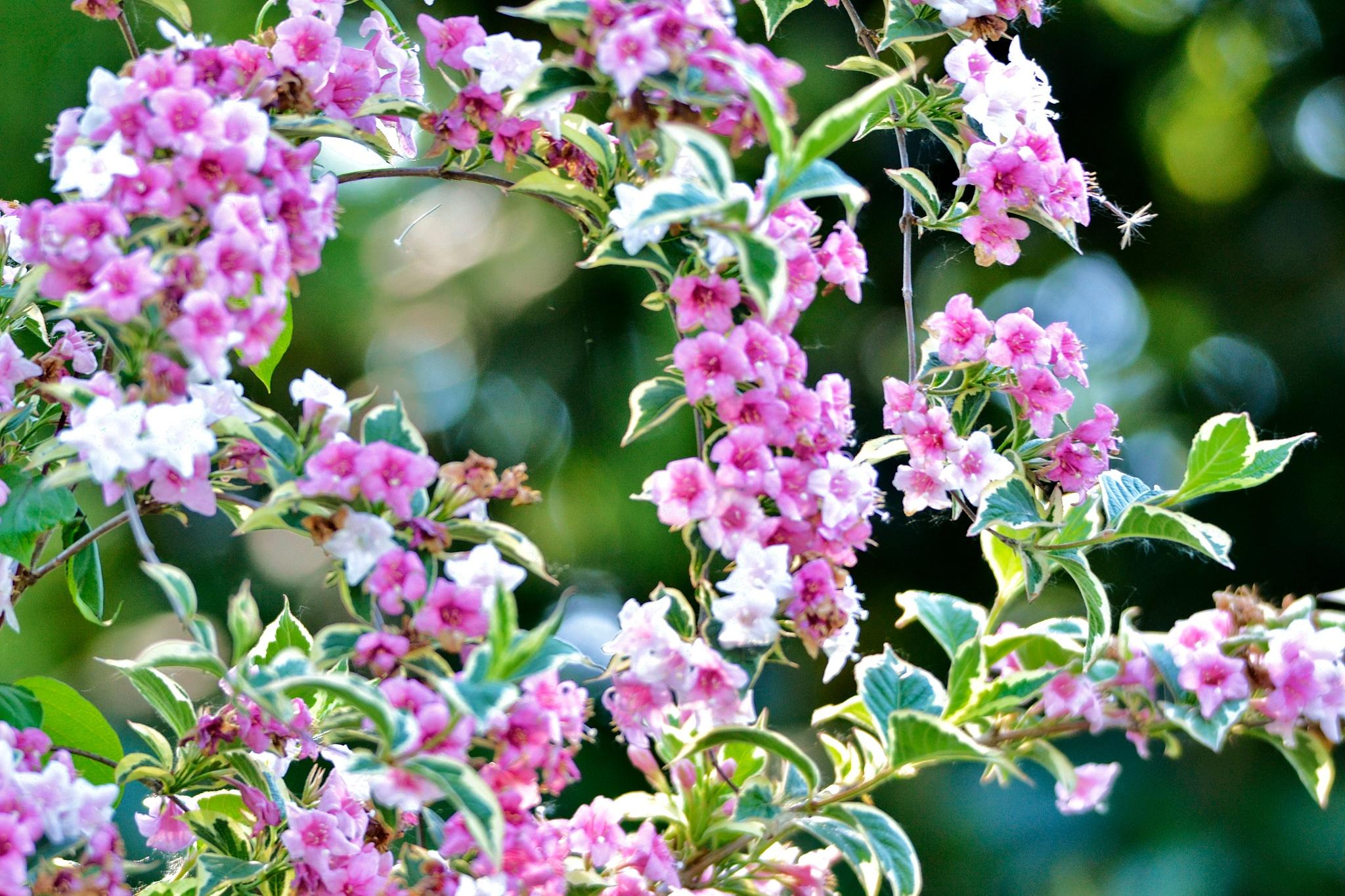 primavera  by danilo.audinino