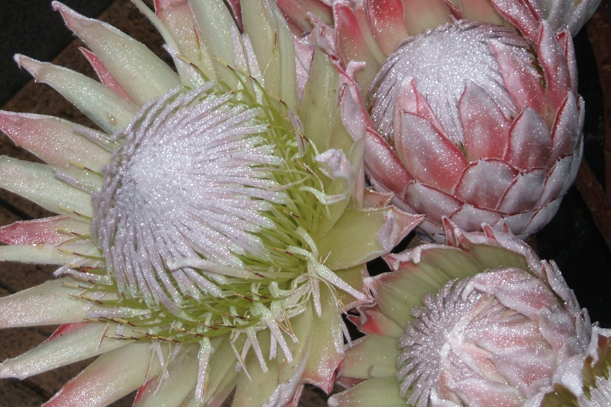Protea - Native to South Africa by maria.telegdy