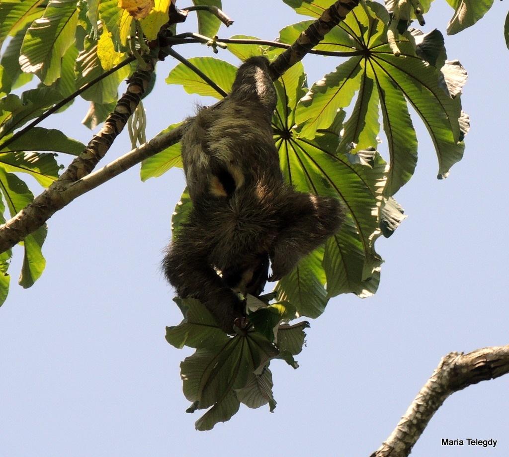 Male sloth by maria.telegdy