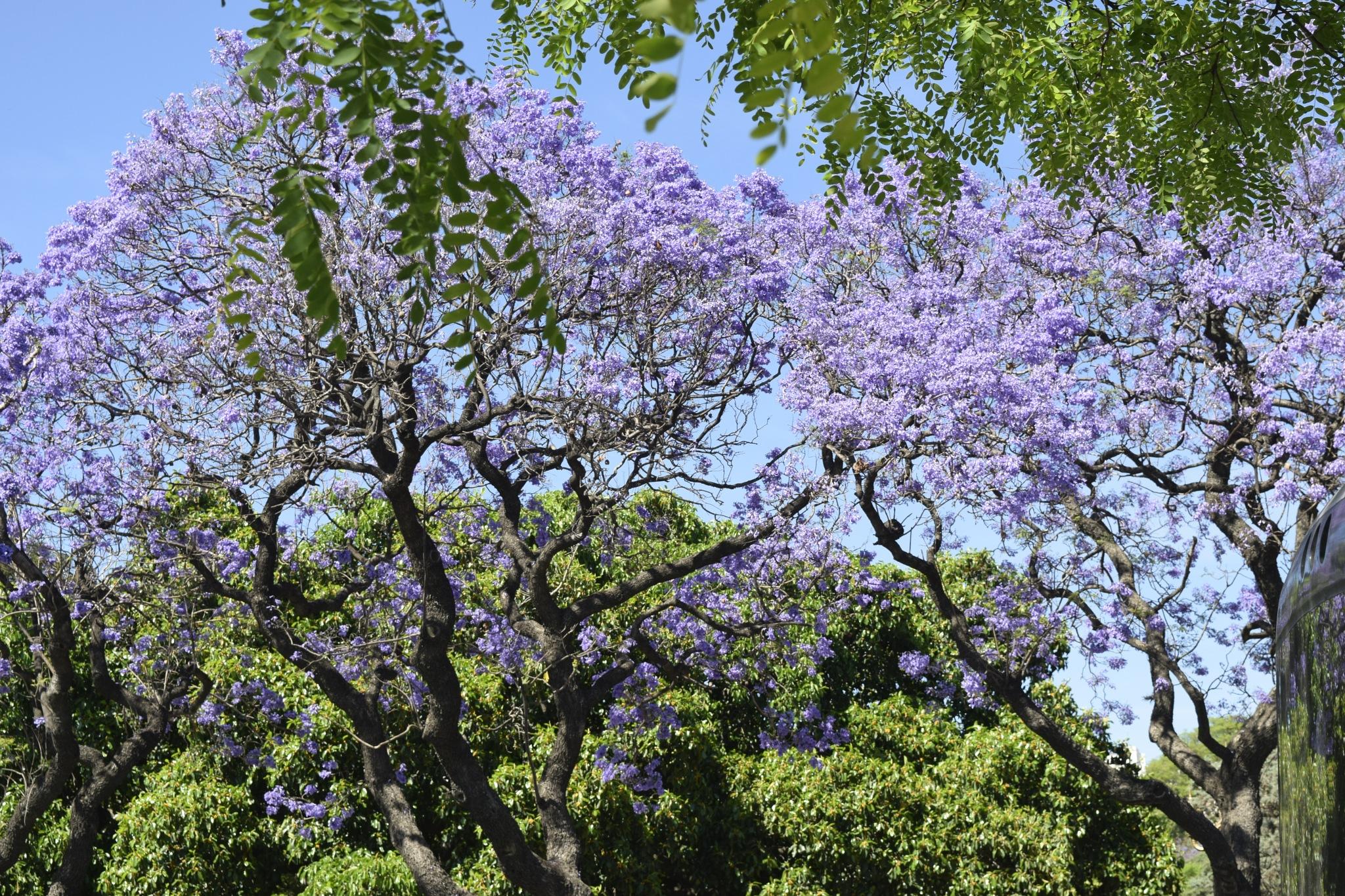 Jacaranda tree 2 by maria.telegdy