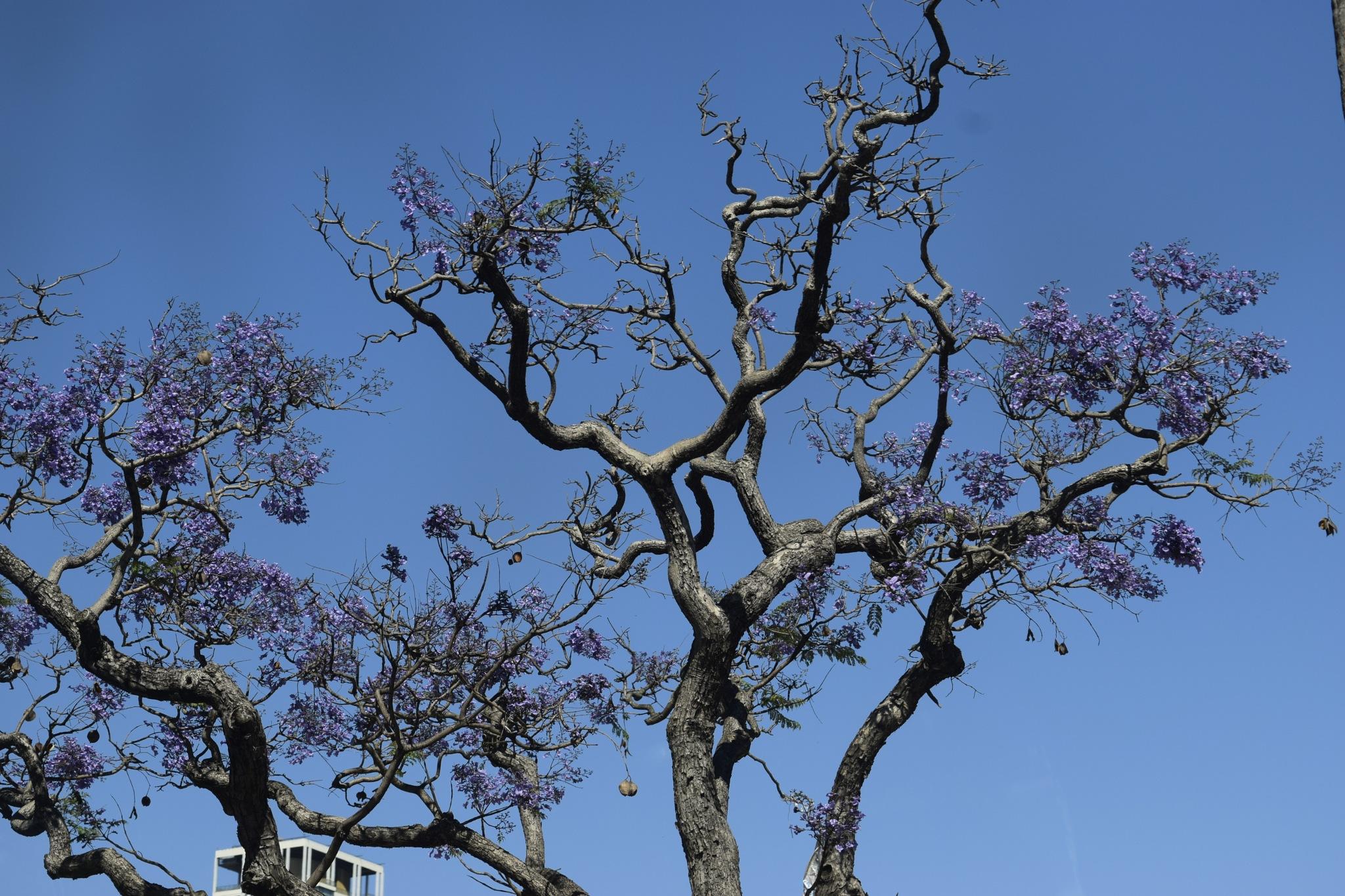 Jacaranda tree  by maria.telegdy