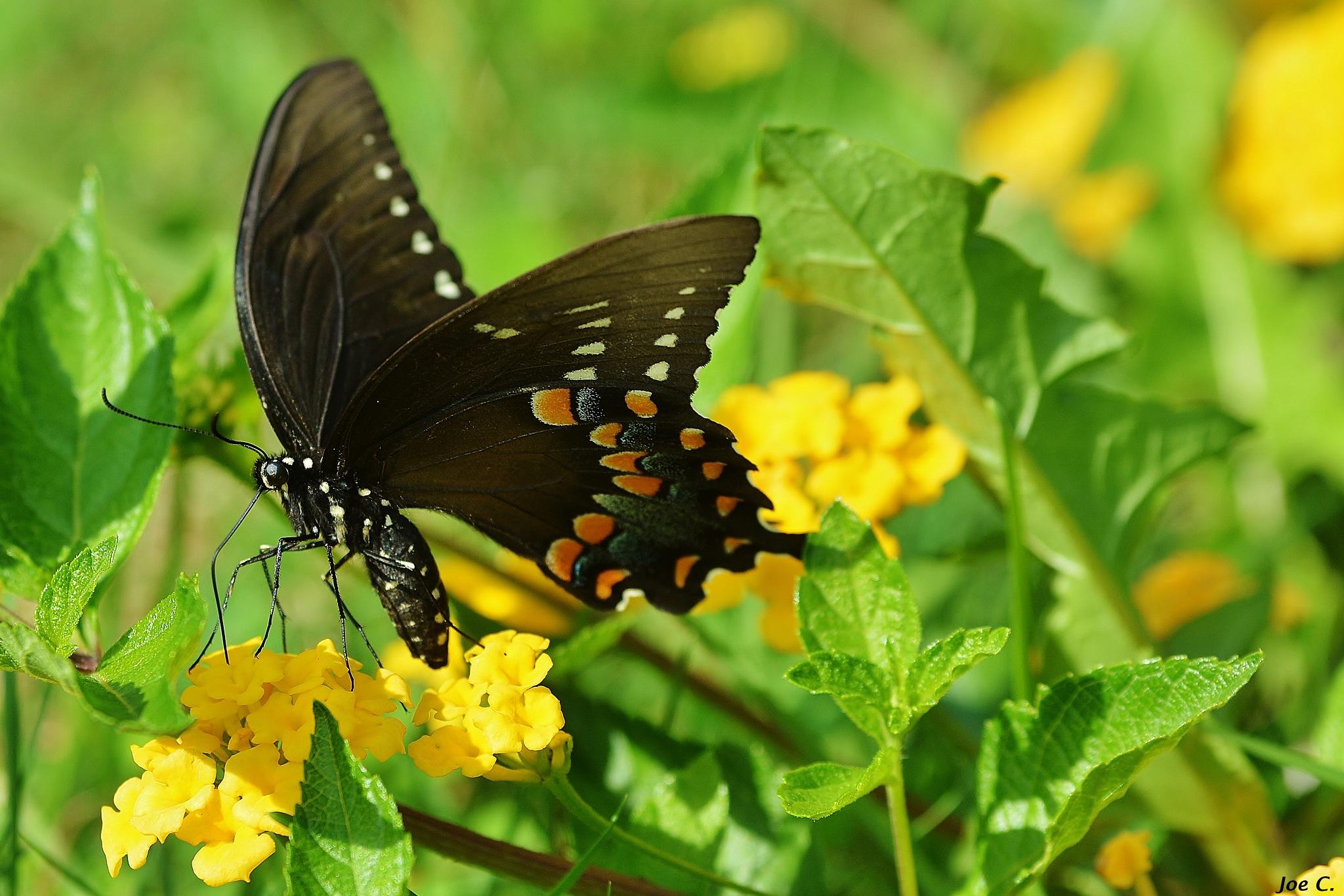 Butterfly by Joe